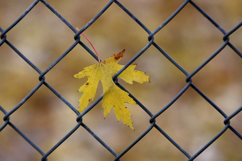 One fall coloured maple leaf hangs on to a wire fence as heavy winds blow cool wet weather through Winnipeg.