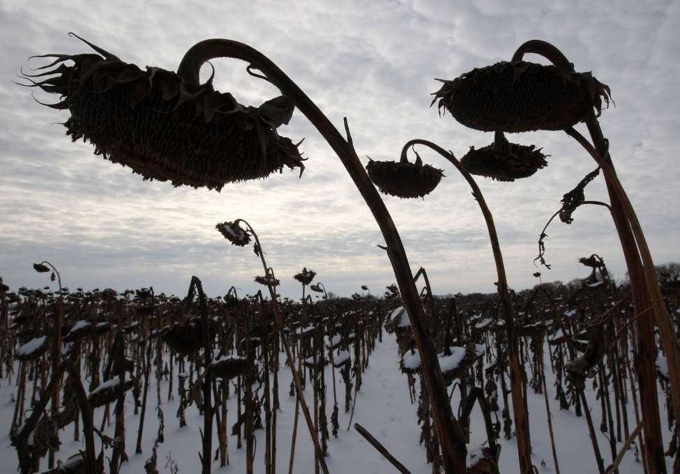 Frozen sunflowers covered from this weekends heavy snow near the west perimeter highway.