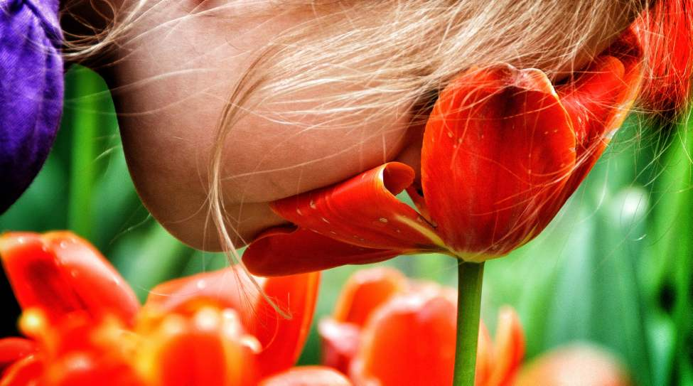 Photographer's Choice: Tulips and a nose — Looking at this image reminds me of the amazing weather we had that day in May. Much of a photographer's job is spent looking for ways to document  for our readers what is going on in our city. One of the things we do is look for people doing things and try to tie those activities to the weather to tell a story.  In this case, I went to Assiniboine Park's Leo Mol Sculpture Garden. It turns out a mother and her daughter, Emily Walker-Craig, were taking advantage of the Victoria Day holiday to walk through the garden and had stopped to check out the tulips. I took a number of photos and was in the process of getting personal  information when out of the blue, the four-year-old put her face right into a tulip for a big, long sniff. I managed to get the photo before she ran off…  Her mother and I laughed at the absurdity of the moment — one I am happy to remember on this chilly day at the end of a wonderful year of photography. Monday, May 21, 2012. (MIKE DEAL / WINNIPEG FREE PRESS)