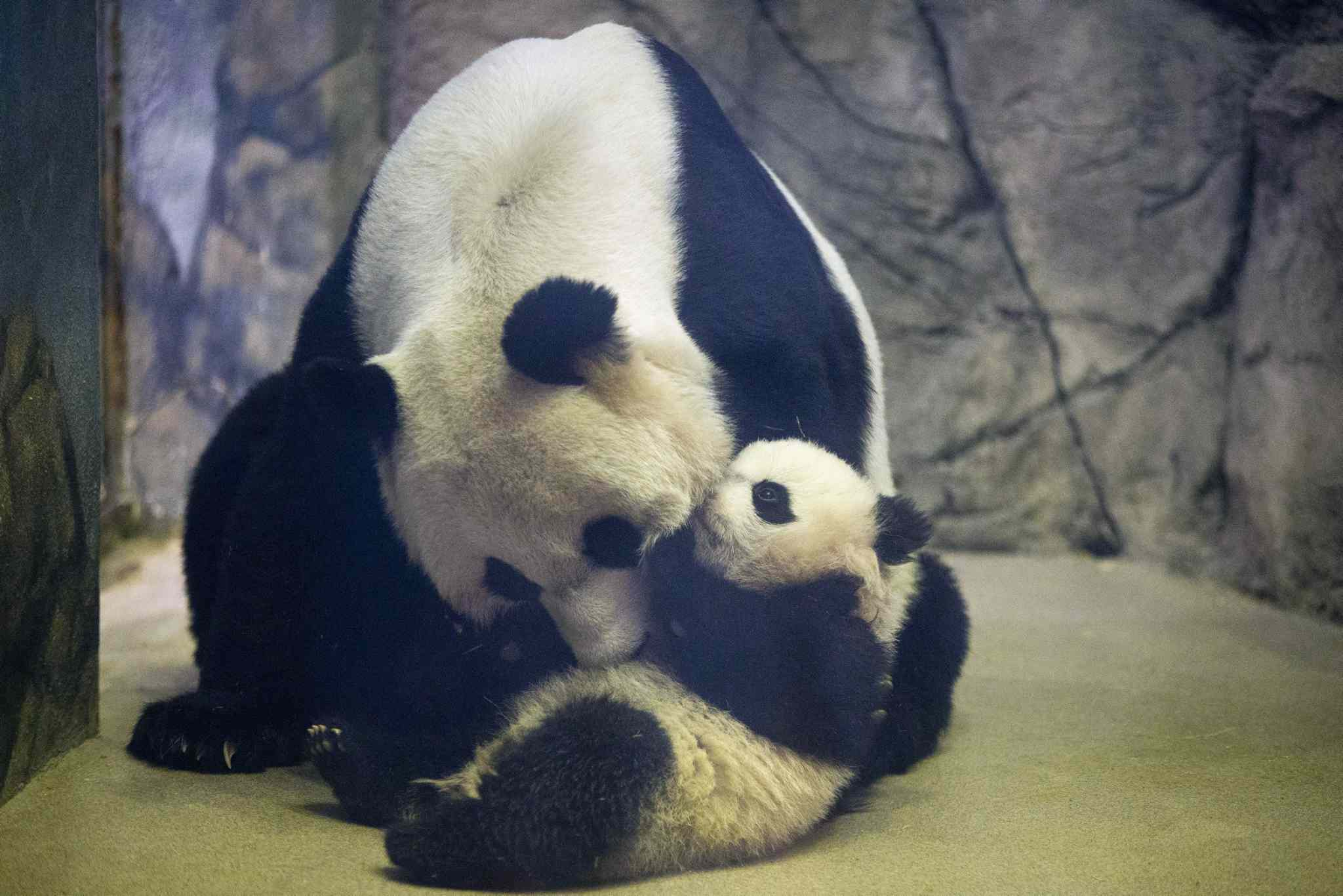 Bao Bao, the four-and-a-half-month-old giant panda cub, is approached by her mother Mei Xiang in their indoor habitat at the Smithsonian's National Zoo in Washington, Jan. 7. Bao Bao was born to the zoo's female giant panda Mei Xiang and male giant panda Tian Tian.