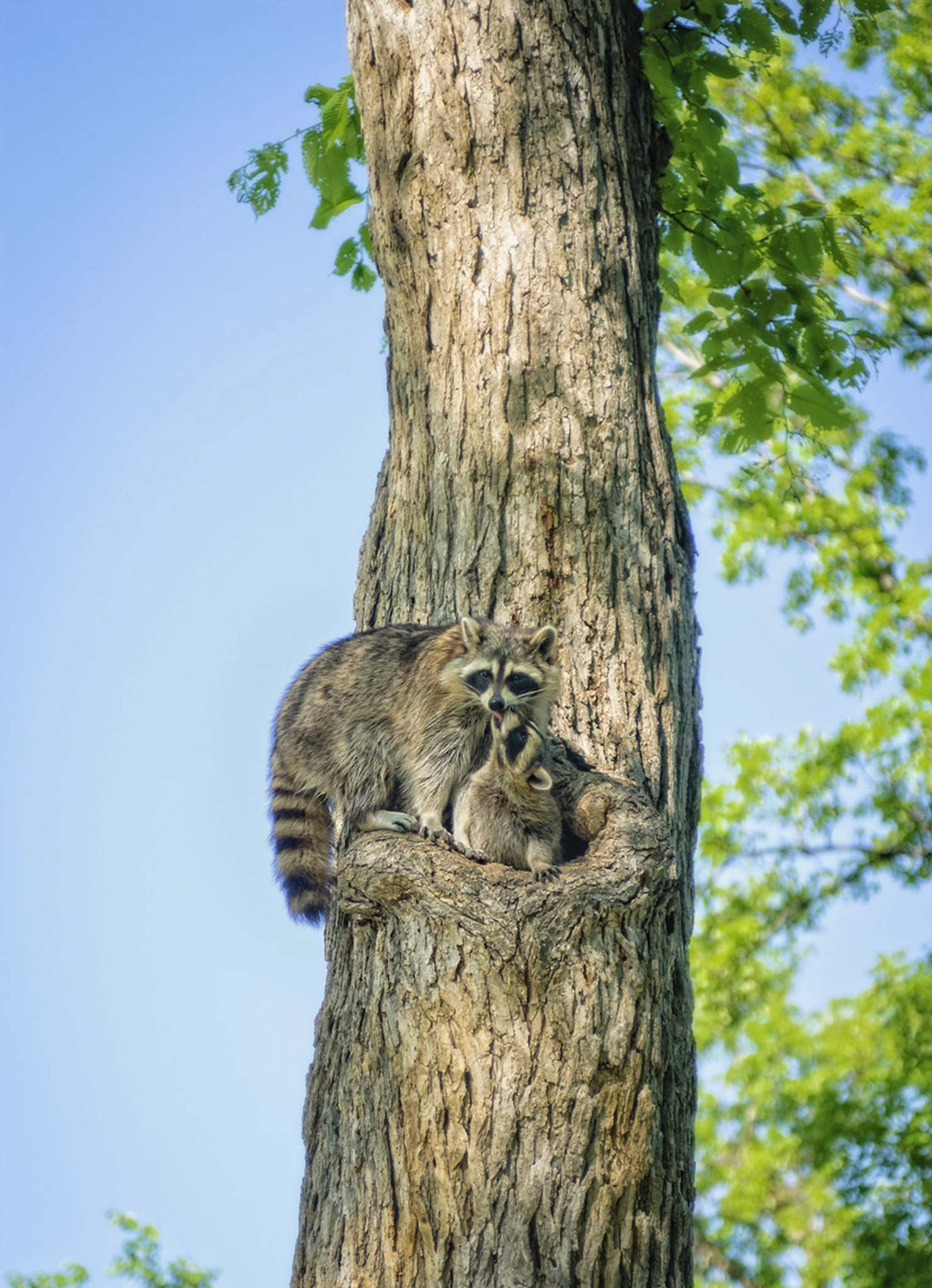 <p>Joe Kerr</p><p>A mother and baby raccoon make themselves at home in Kildonan Park.</p></p>