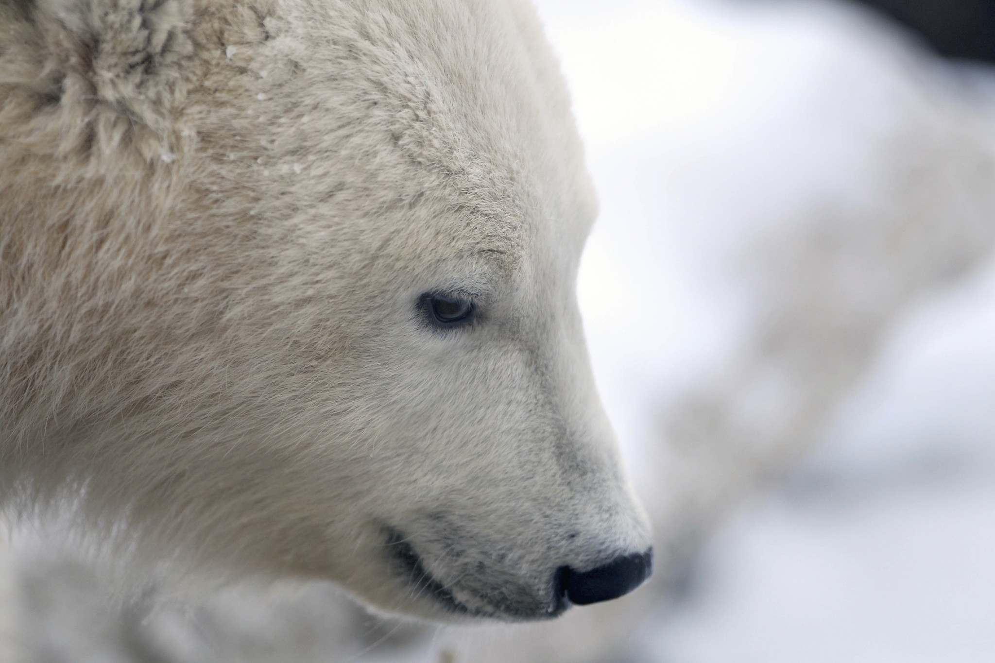 JOE BRYKSA / WINNIPEG FREE PRESS files</p><p>The provincial government supports the creation of a polar bear park along the coastline of Hudson Bay near Churchill.</p>