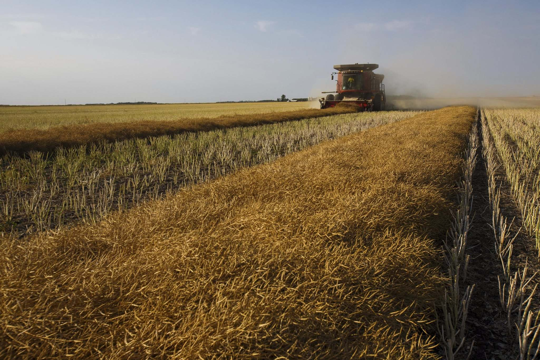 MIKE DEAL / WINNIPEG FREE PRESS FILES</p><p>A July report from Statistics Canada projects canola production will be down close to 25 per cent countrywide this year. Manitoba is expected to fare slightly better with only a 14 per cent decline.</p>