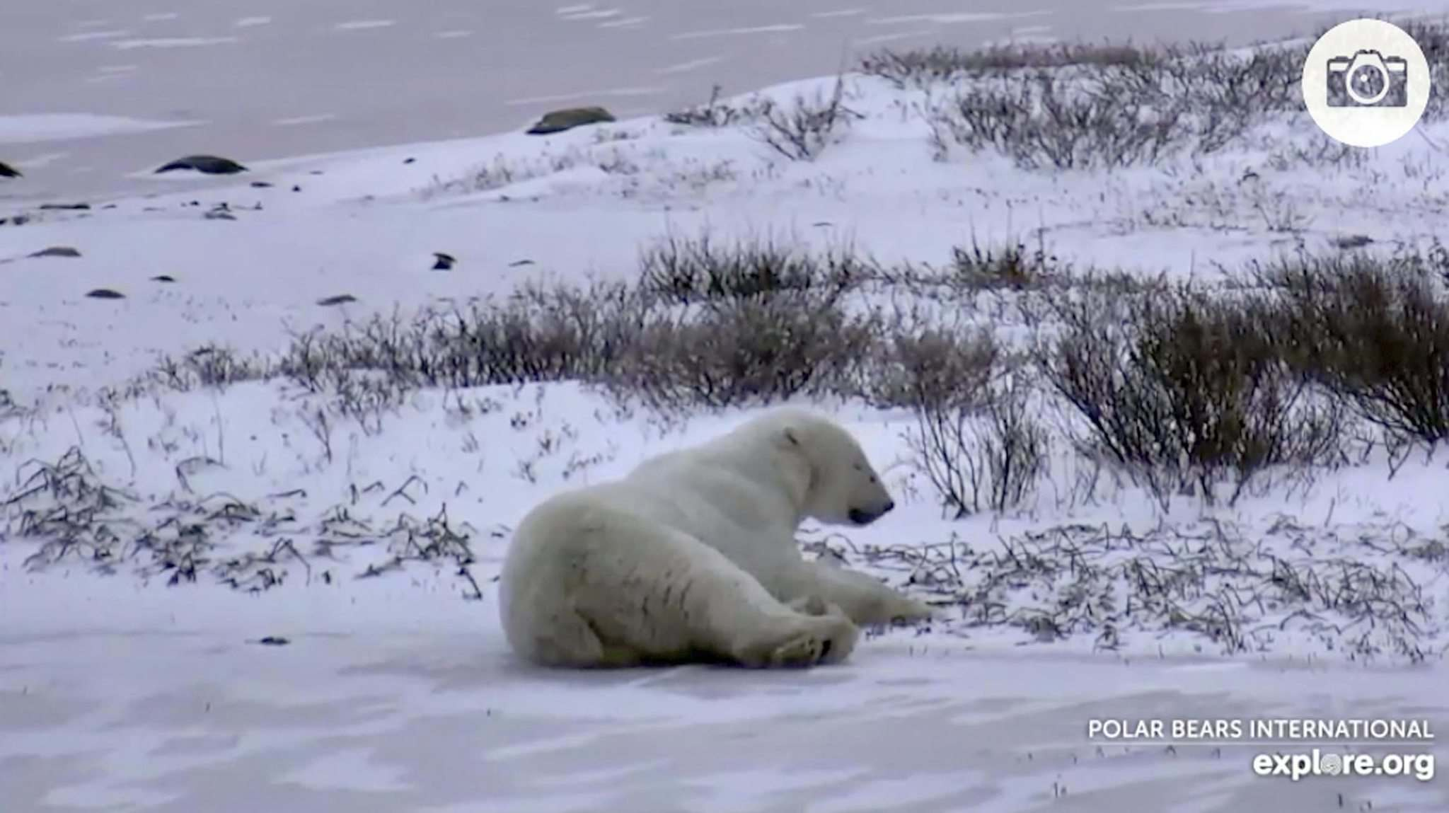 Screen photo from Explore.org&#39;s polar bear cam in Churchill, Manitoba. November 2, 2016</p>