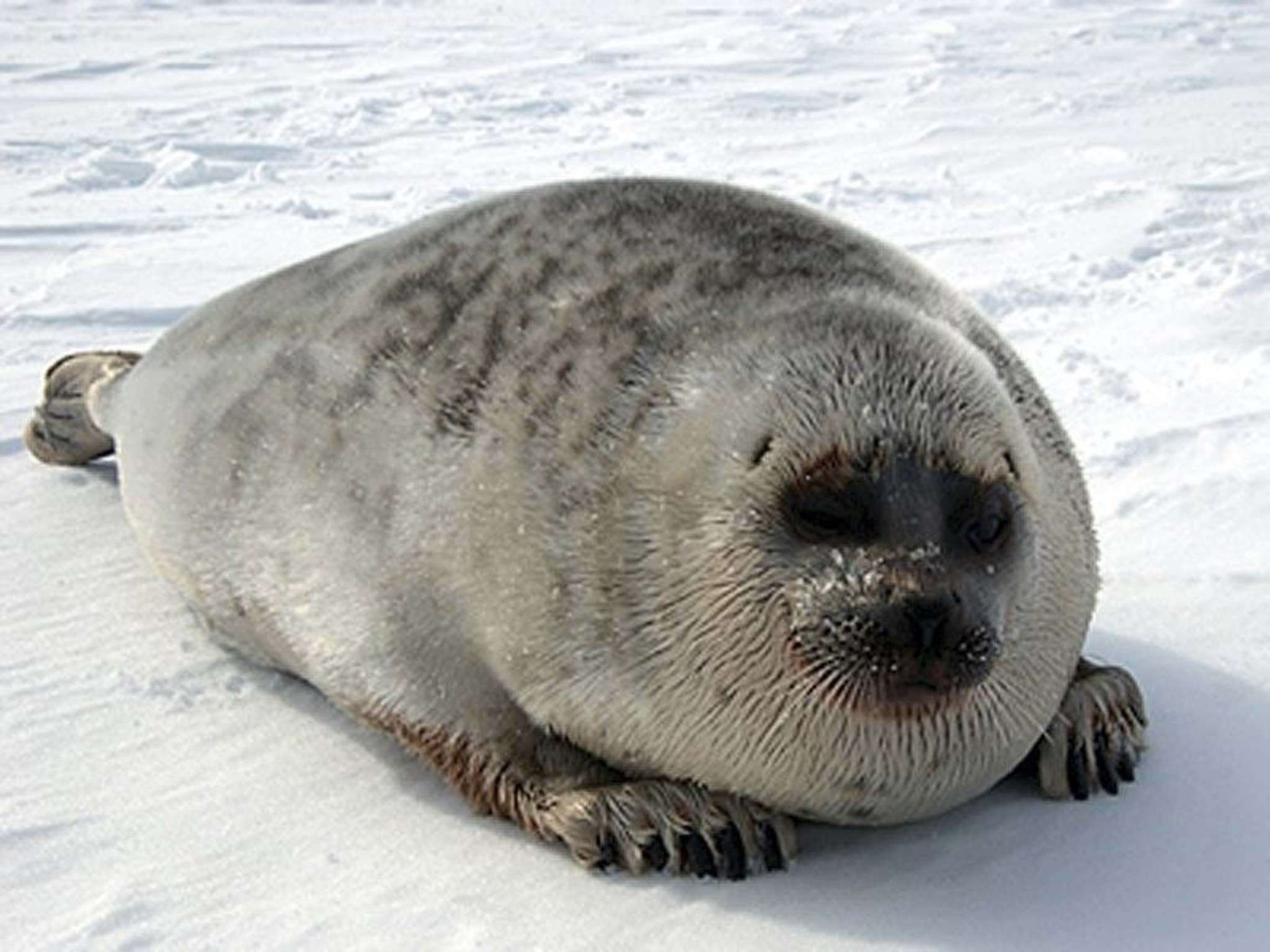 NOAA FISHERIES</p><p>Ringed seal population in the Hudson Bay is declining.</p>