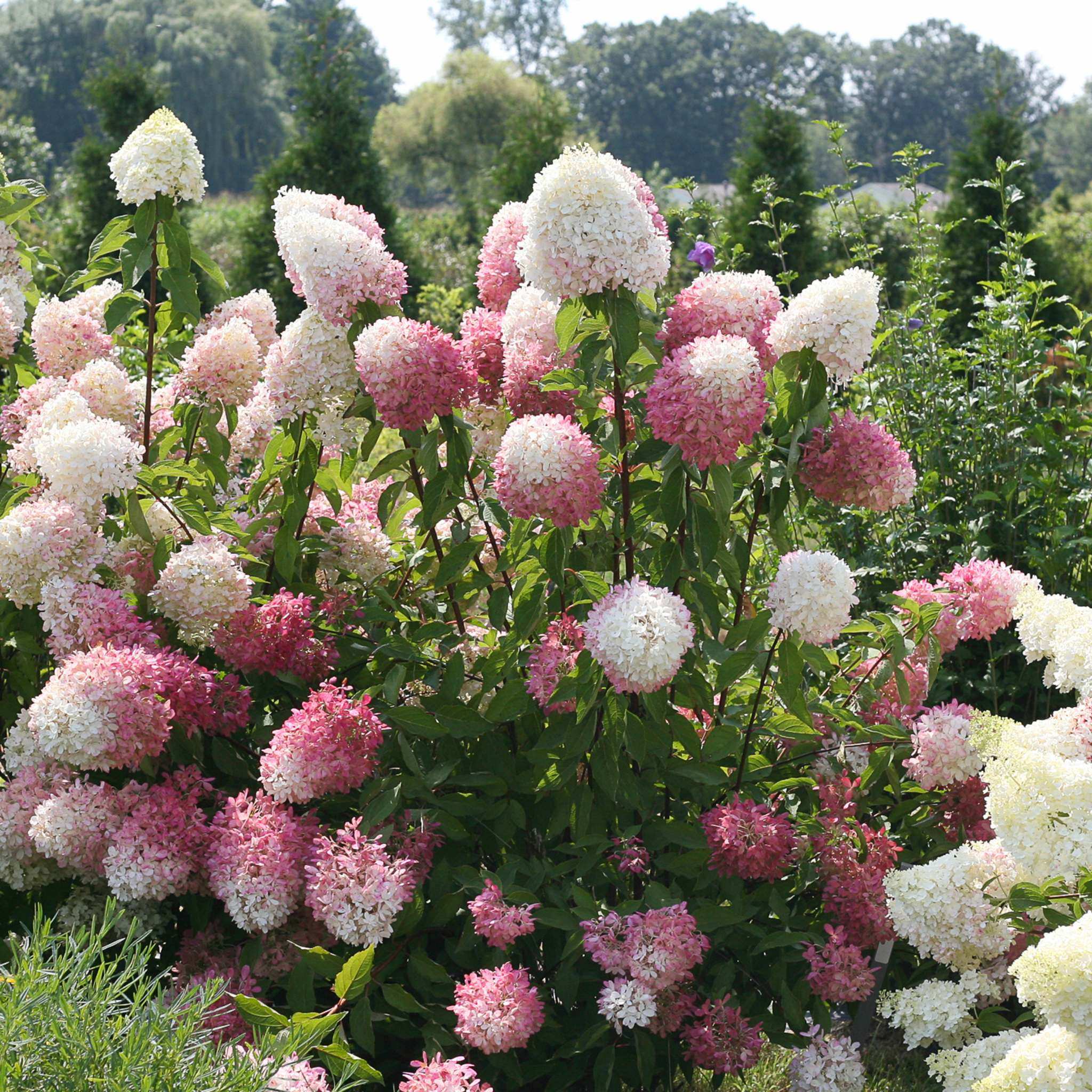 <p>Proven Winners</p><p>Zinfin Doll's long blooms make for great cut flowers.They also bloom earlier and stay longer than past varieties.</p>
