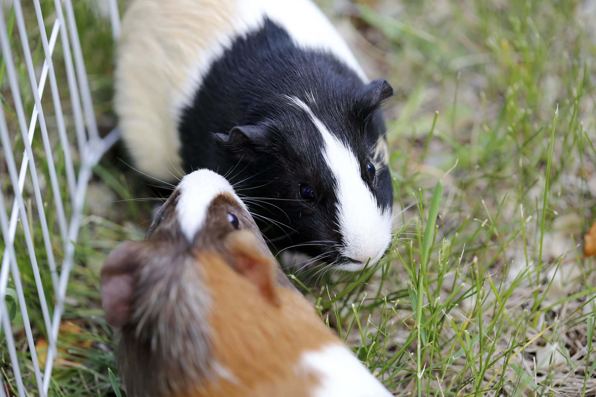 JUSTIN SAMANSKI-LANGILLE / WINNIPEG FREE PRESS</p><p>A pair of rescued guinea pigs munch on some fresh grass while outside Cindy and Jeff Hildebrand's house. </p>