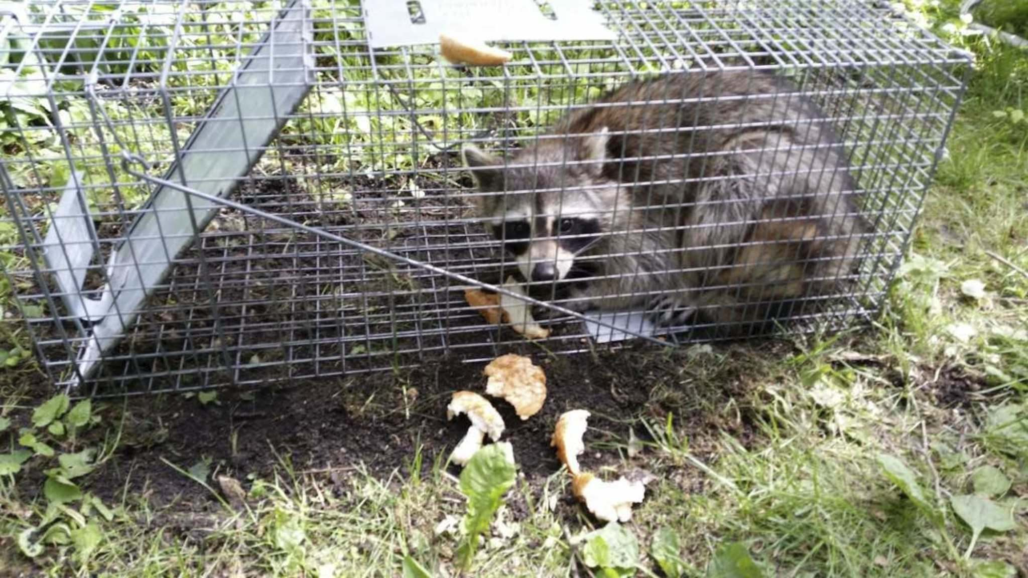 A raccoon trapped in Woodhaven this week.