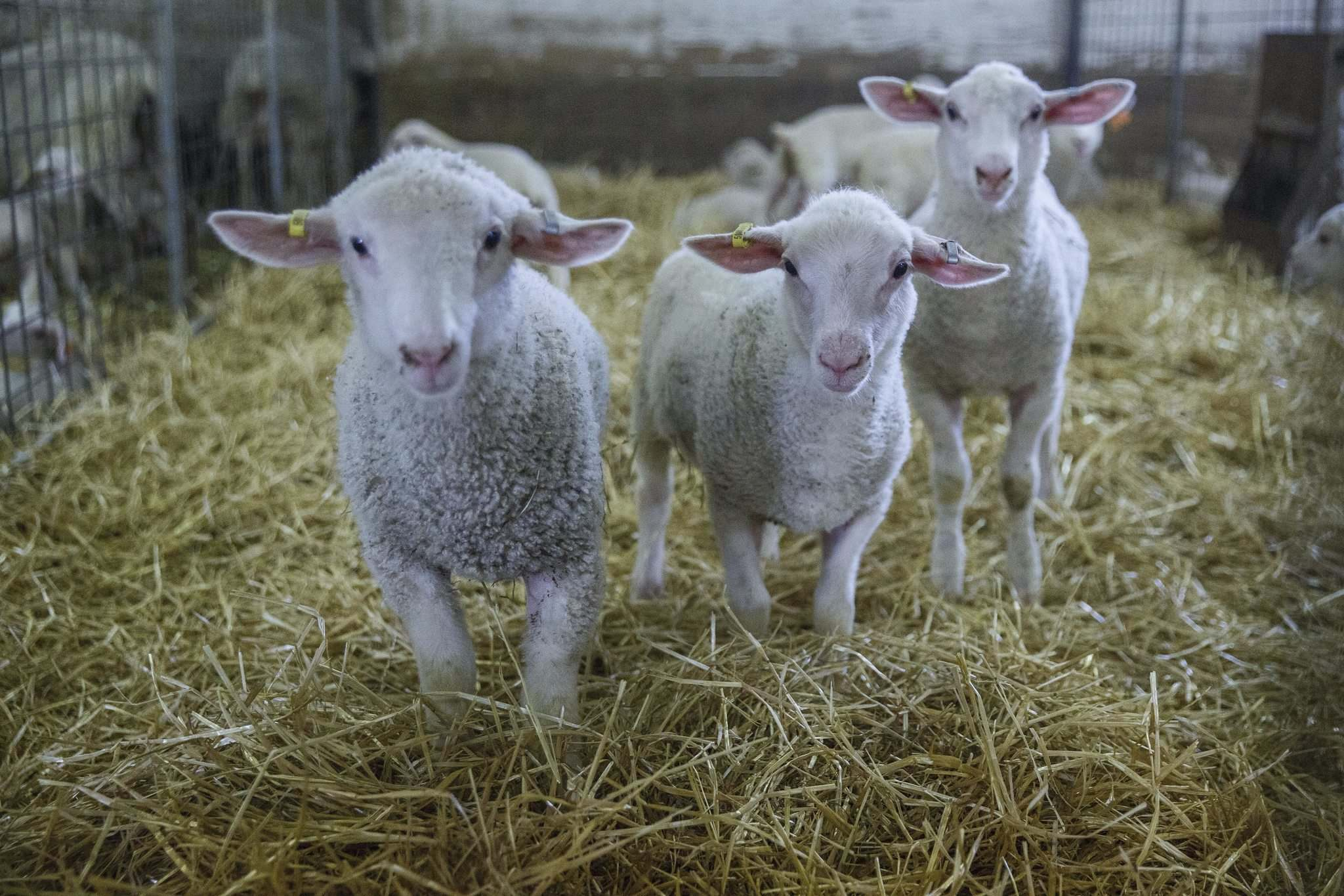 Currently, Manitoba farmers have to ship their lambs out of province to be processed. But Smith's company is planning to build a sheep-and-lamb processing plant for southeastern Manitoba.