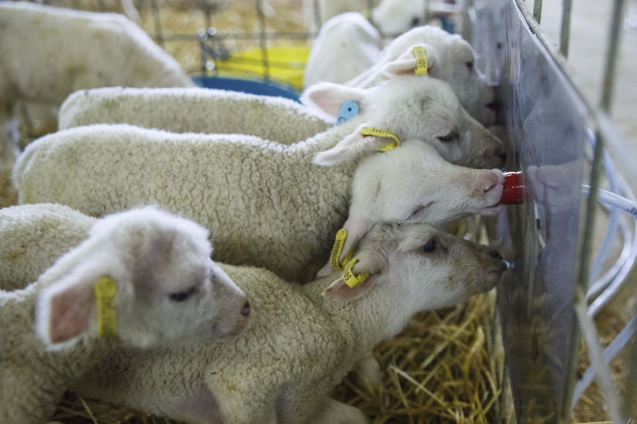 Ewes typically nurse only two lambs from their litters at Smith's farm so other lambs use a self-feeding nursery within the lambing barn.