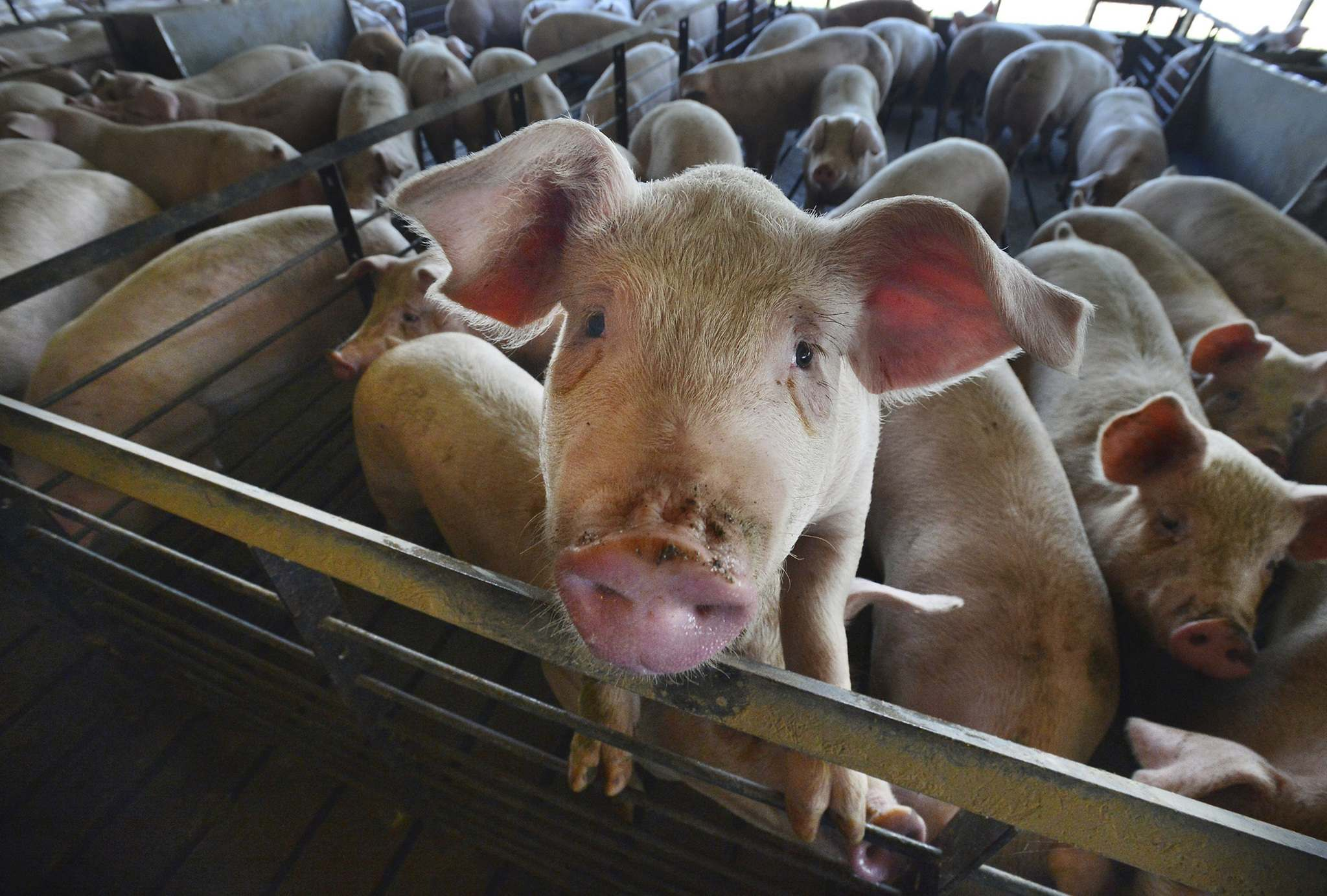 Chuck Liddy/News &amp; Observer/TNS</p><p>Much of the attention focussed on Bill 24, the proposed Red Tape Reduction and Government Efficiency Act, is due to the planned regulatory changes to the province&#39;s hog industry.</p>