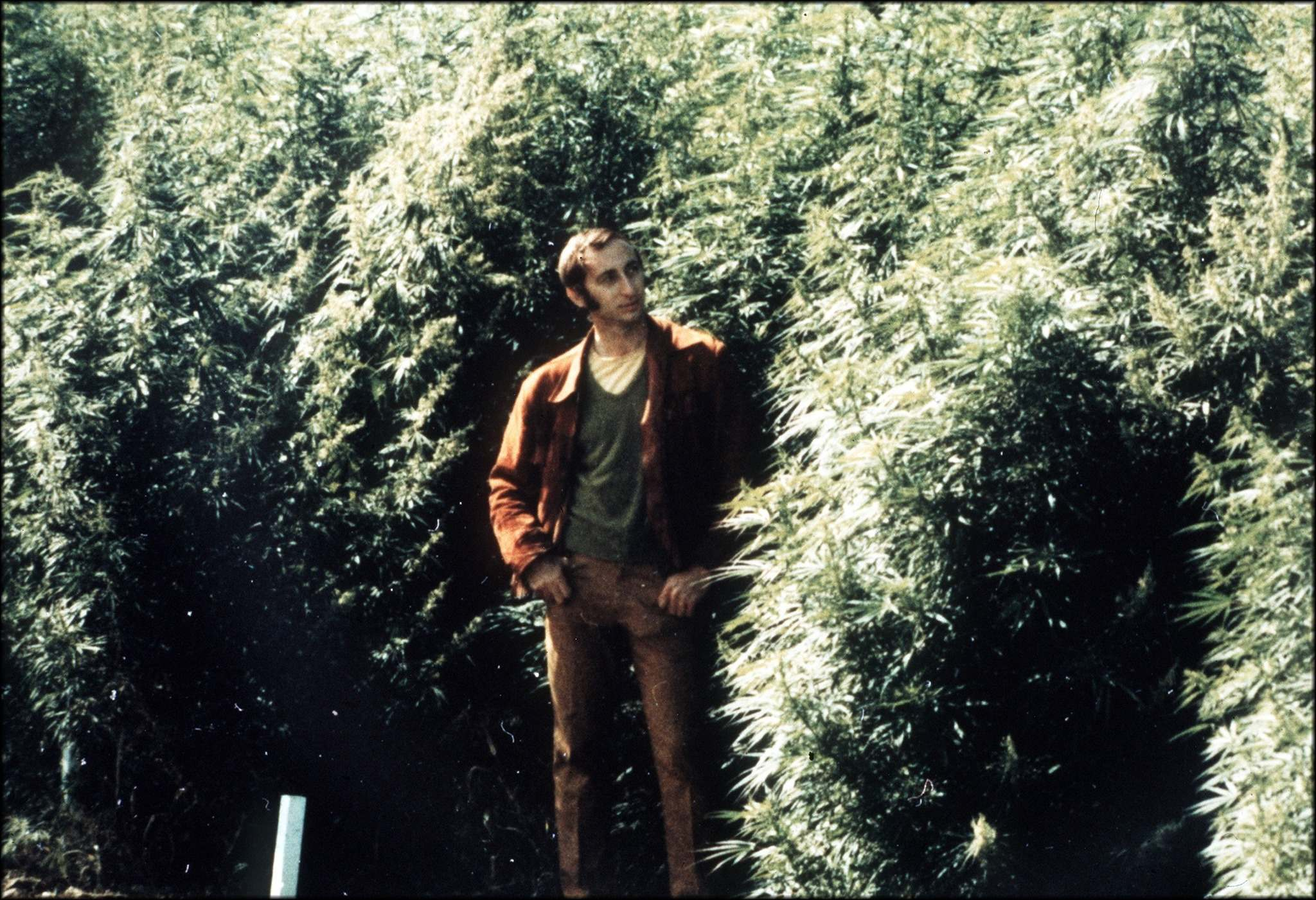 """Ernest Small poses in his field of drug-type cannabis, grown on behalf of the Canadian government, at the Central Experimental Farm in Ottawa in 1971. The marijuana, he says, """"was really weak stuff compared to what's available today."""" (Supplied)</p>"""