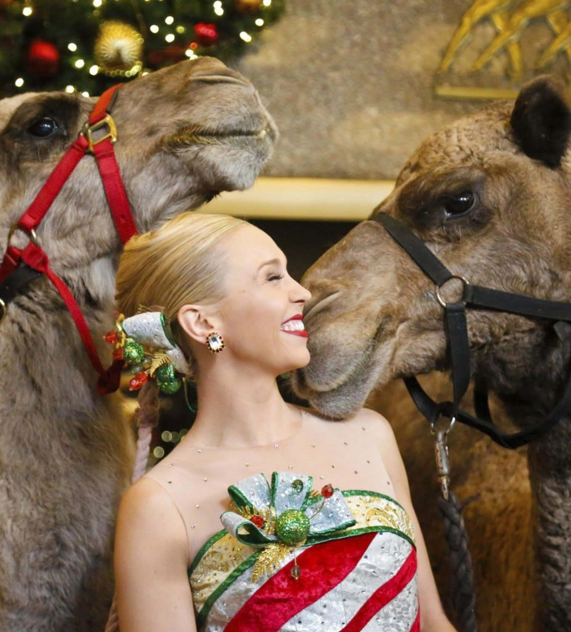 Camels banned from beauty contest after being injected with Botox