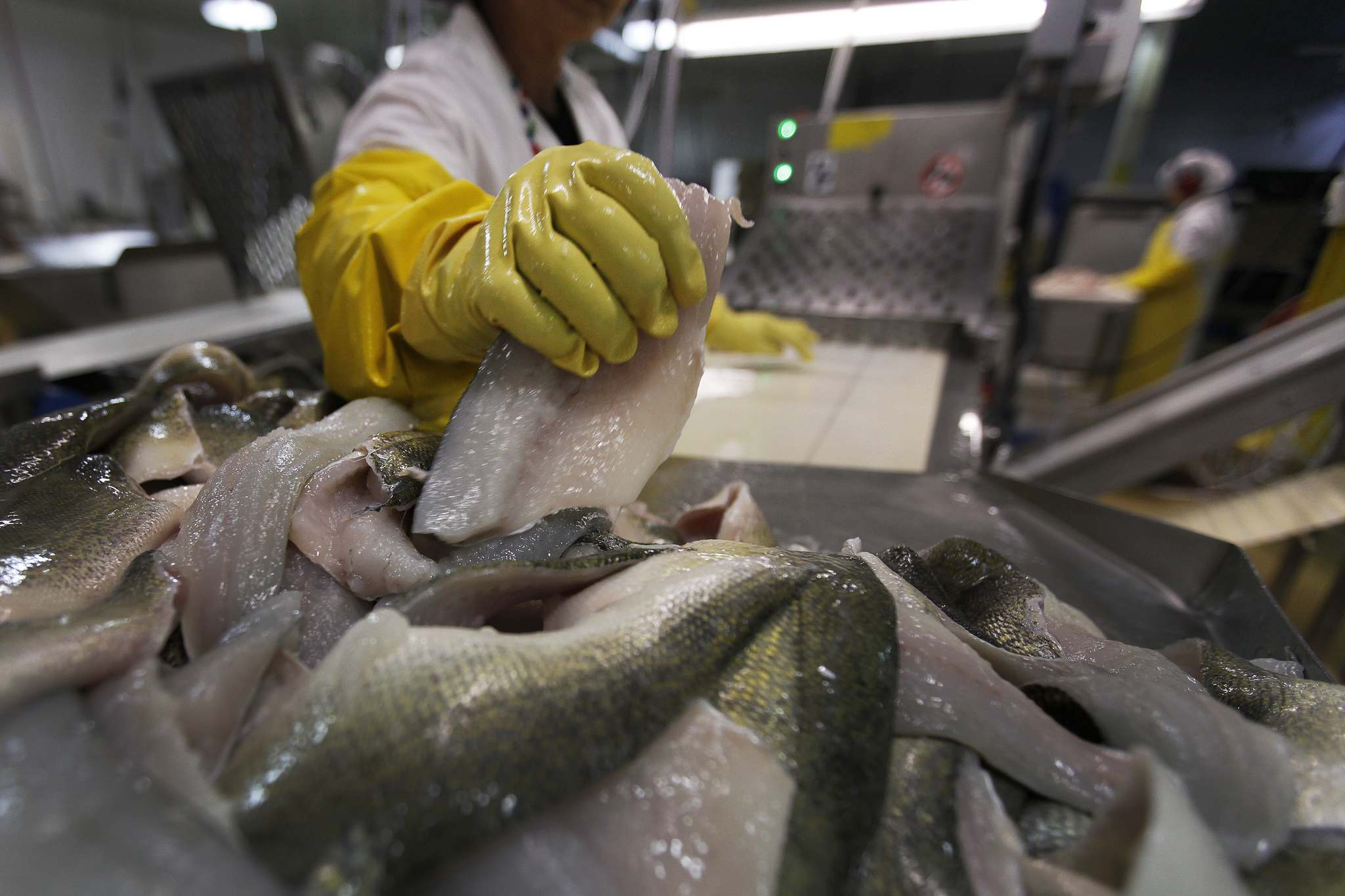 <p>The skinning line at the Freshwater Fish Marketing Corporation fish processing plant in Winnipeg. Injuries at the plant are at least three times more frequent than the industry norms.</p>