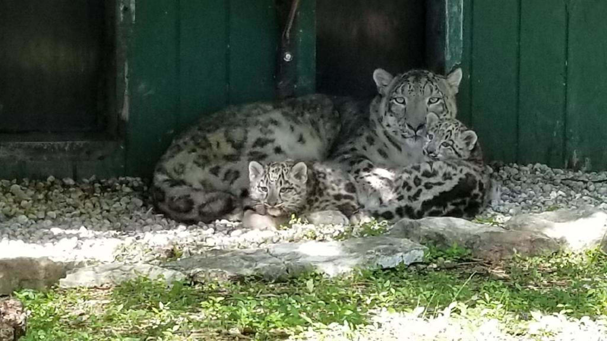 ASSINIBOINE PARK ZOO PpTwo Male Snow Leopard Cubs