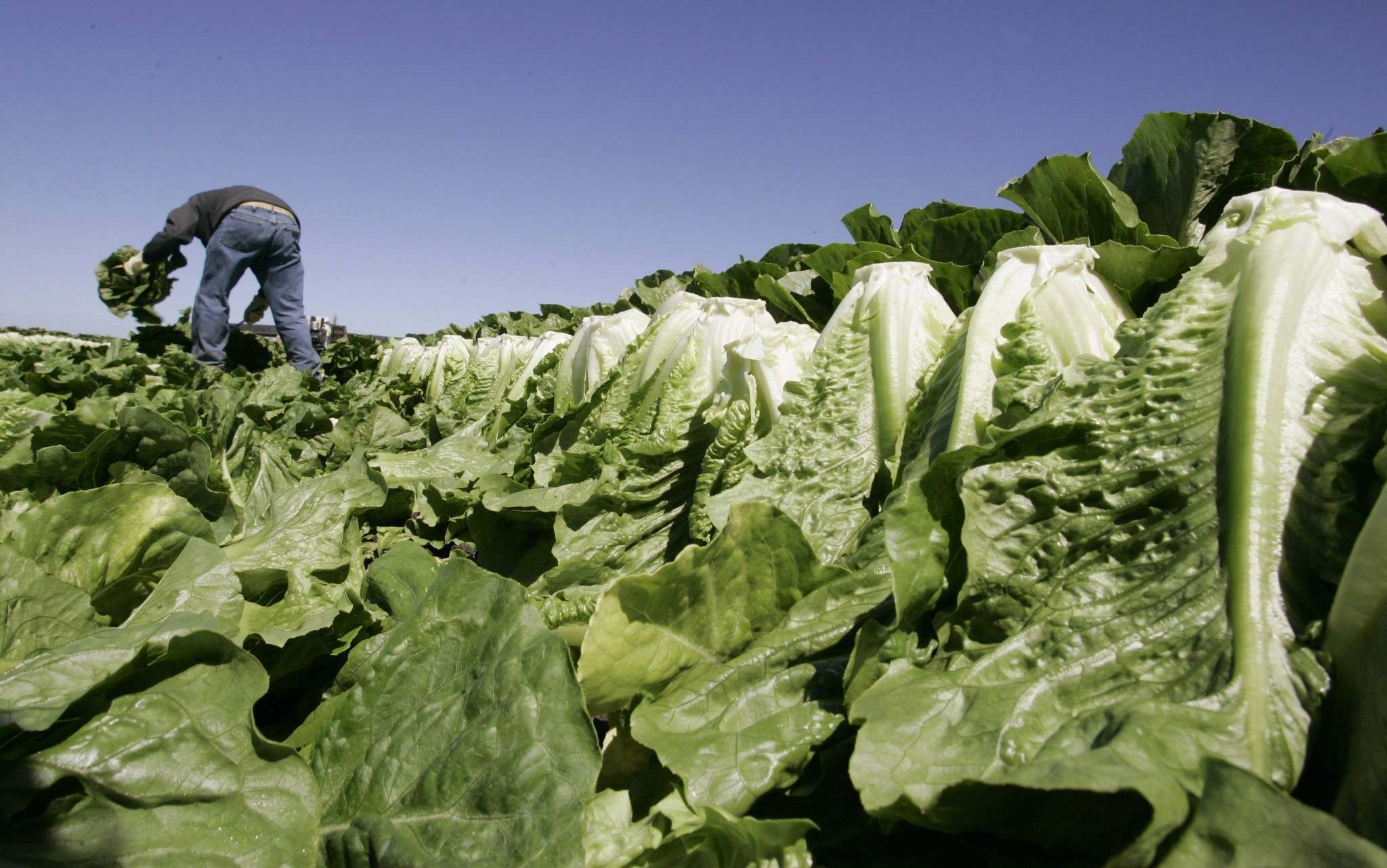 Paul Sakuma / the associated press files</p><p>A worker harvests romaine lettuce in Salinas, Calif., amid a recent E. coli outbreak linked to the leafy vegetable.</p></p>