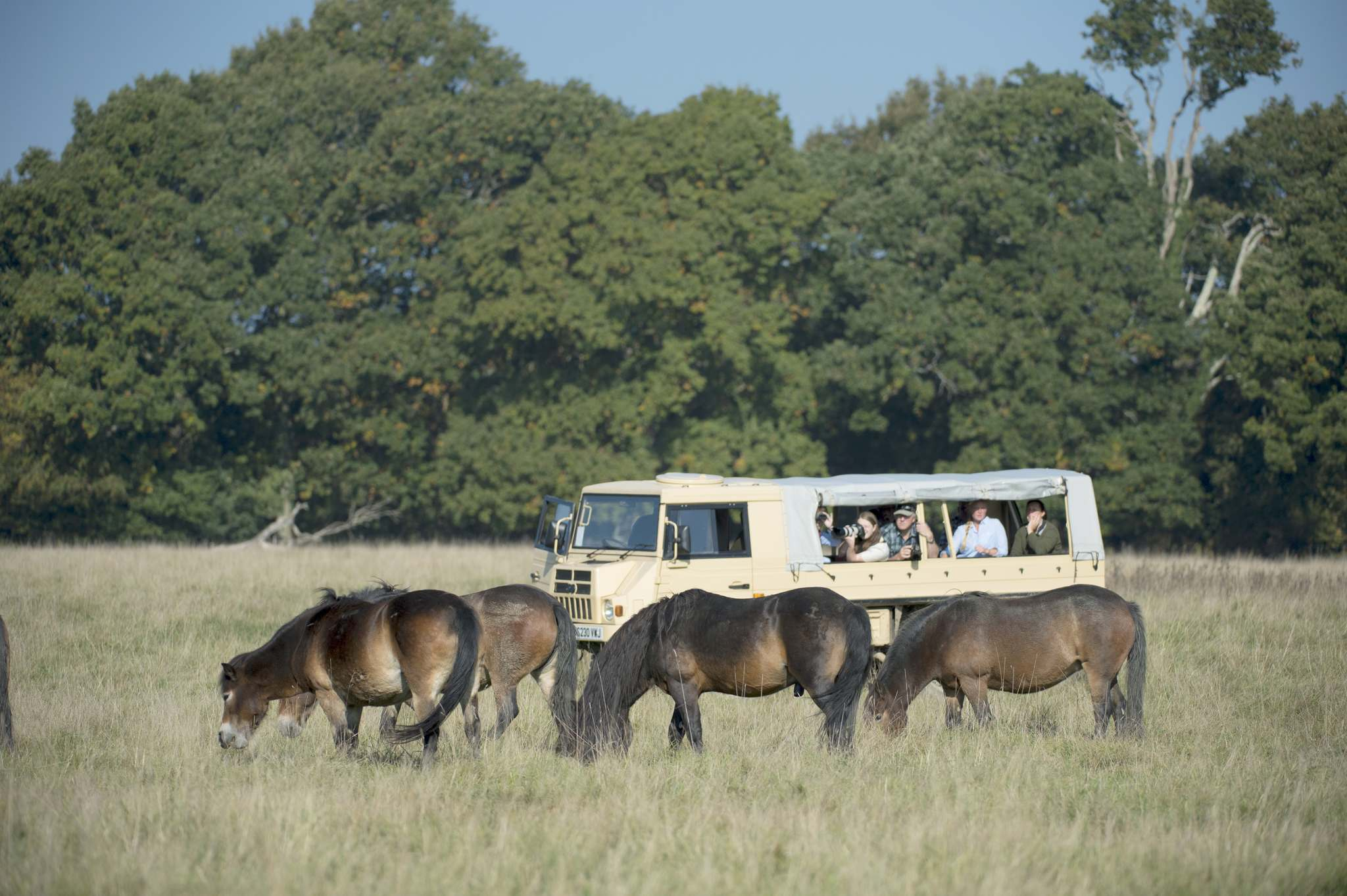 David Plummer</p><p>Tourists view Exmoor ponies from the safari truck. Visitors may walk unattended on the marked public footpaths through Knepp Castle&rsquo;s estate at any time of year, but there also are a wide variety of guided wildlife safaris.</p></p>