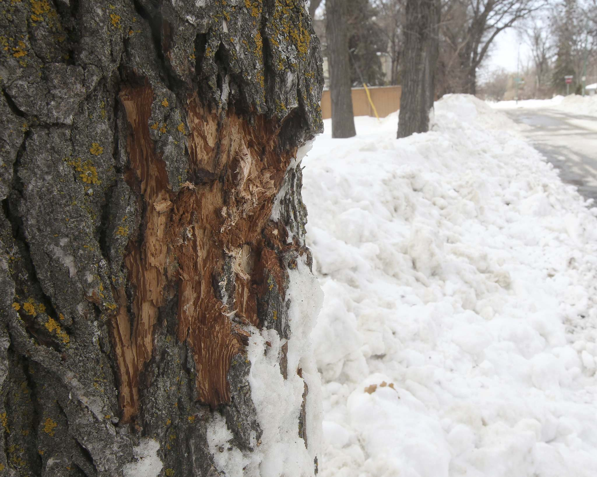 An elm tree in Riverview was damaged by plows in 2013. (Joe Bryksa / Free Press files)