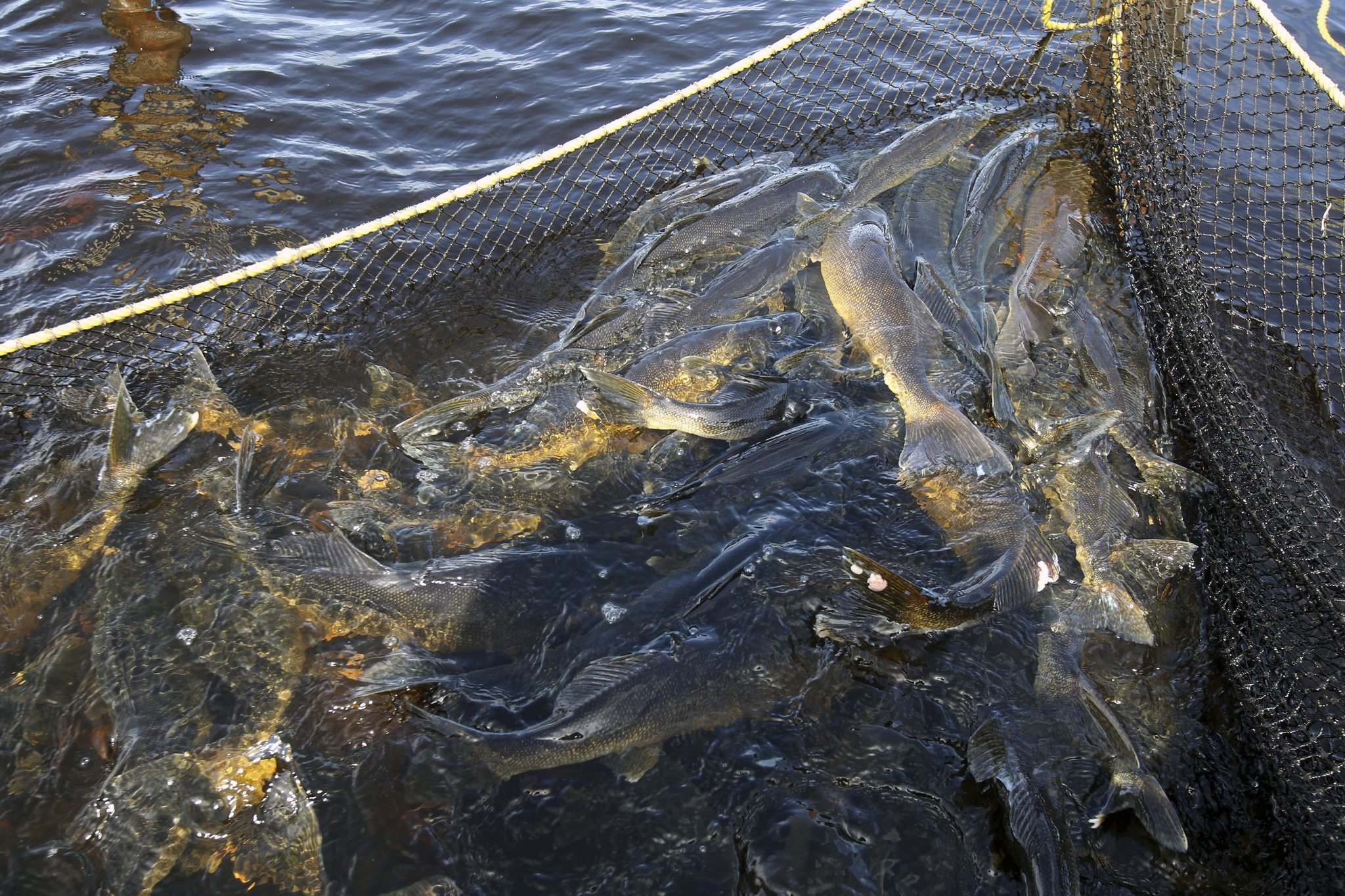 The province plans to make commercial fish harvesters use larger mesh sizes on their nets in Lake Winnipeg's south basin.