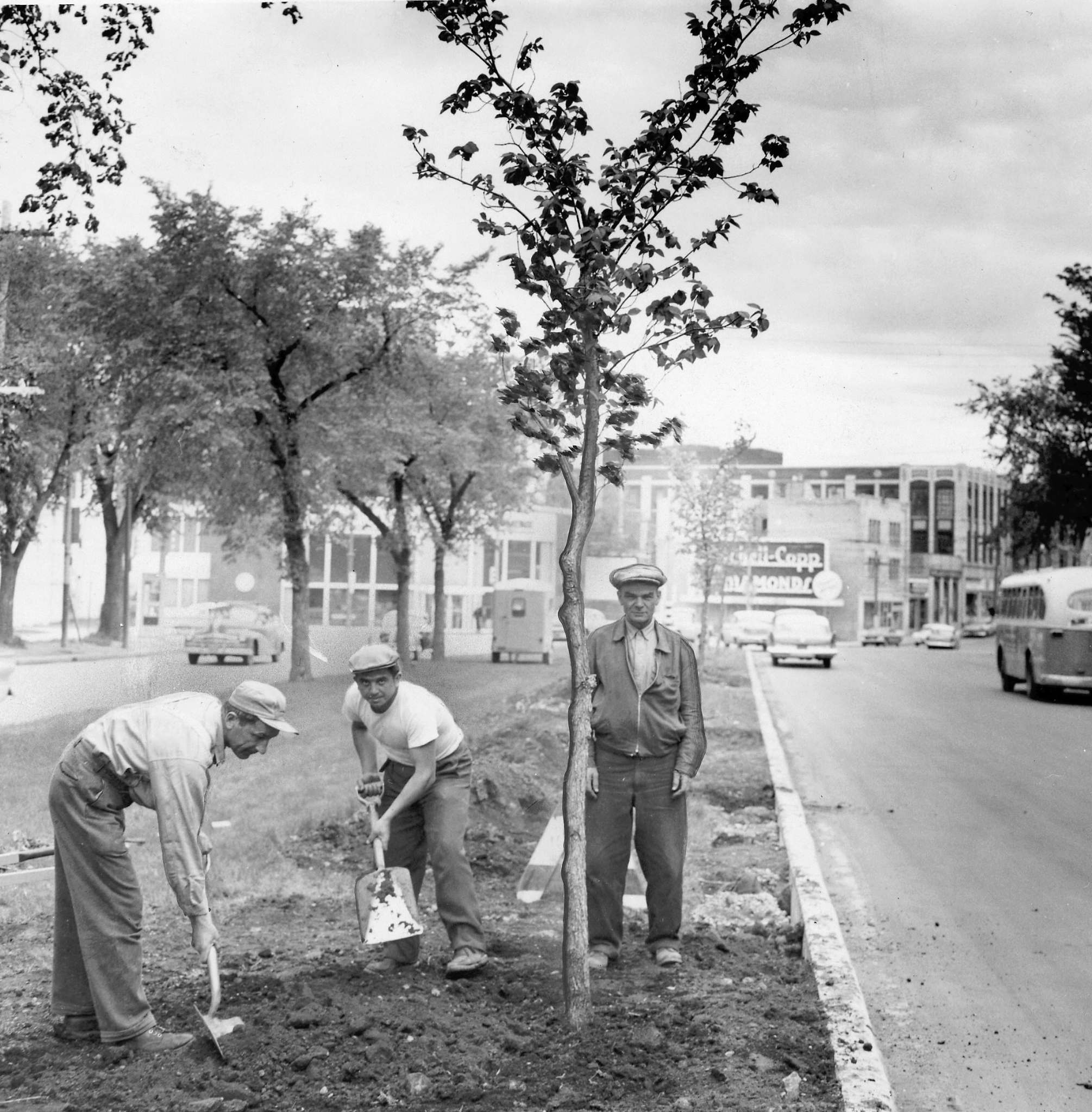 The original caption on June 1, 1960 read: In just 20 years from now the tree shown being planted on Broadway in the block east of Osborne Street may be as big as the one it is replacing. It is one of 12 elms replacing trees cut down last month to make way for pavement widening, setting off a sharp controversy at city hall.</p>