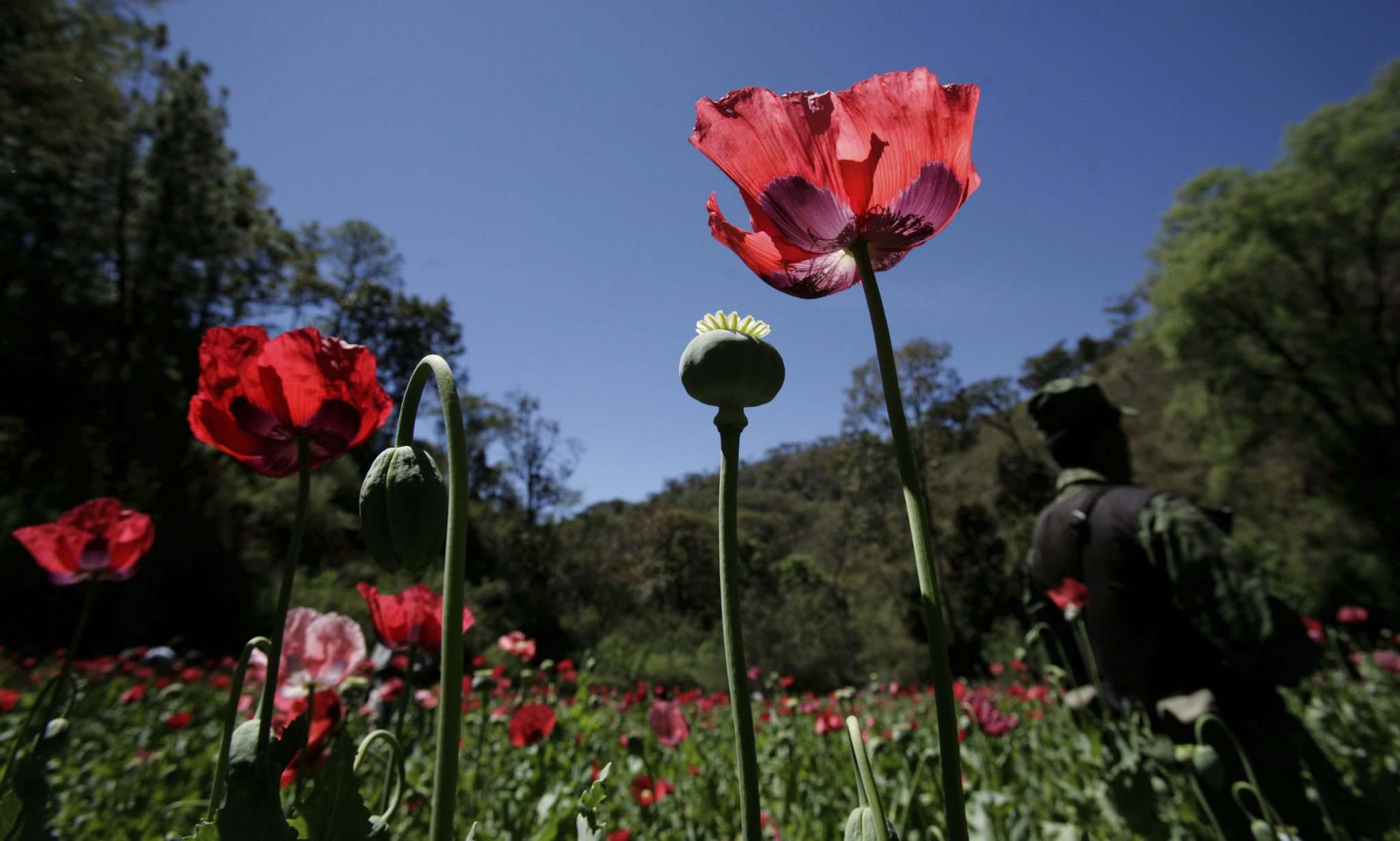 Carlos Jasso / The Associated Press files</p><p>Opium originated near the Black Sea, and has been continually cultivated and exchanged in a number of cultures for some 5,000 years.</p>