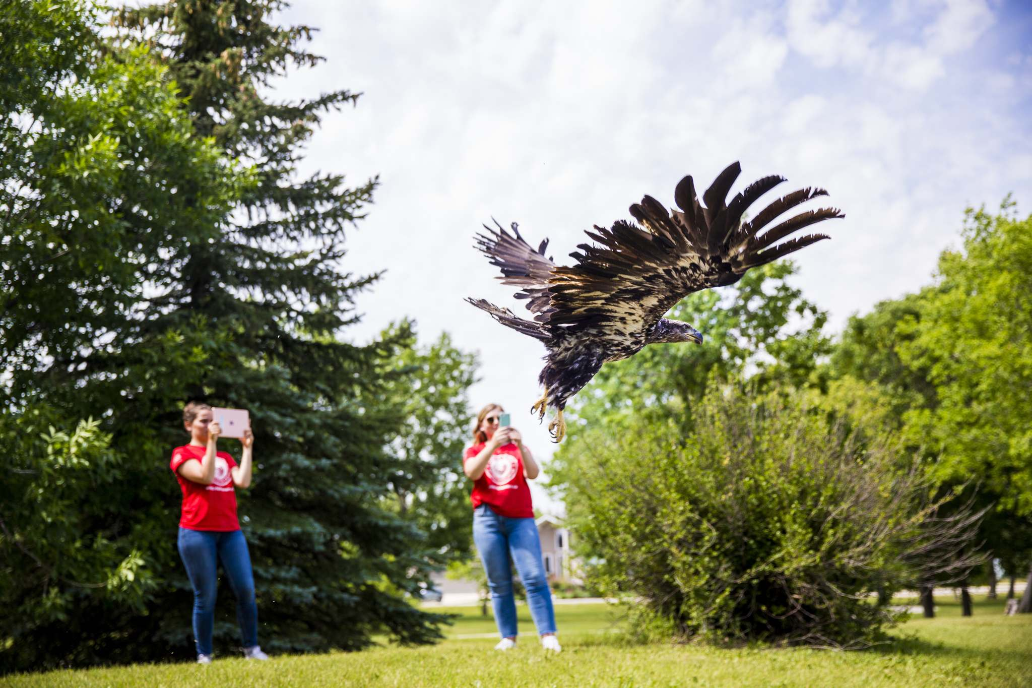 <p>The Wildlife Haven Rehabilitation Centre releases a juvenile bald eagle back to nature at D'Auteuil Park in Ile-des-Chenes on Thursday.</p>