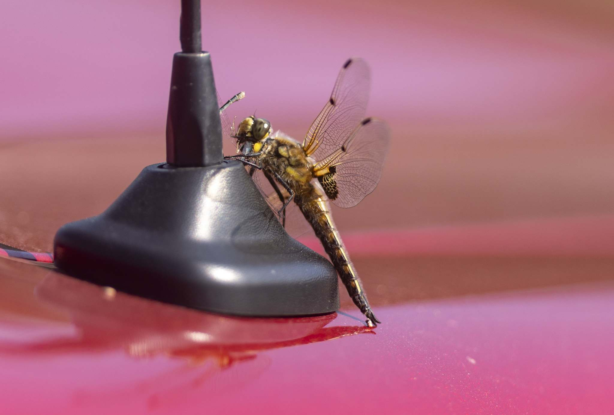 SASHA SEFTER / WINNIPEG FREE PRESS</p><p>A dragonfly hitches a ride on a cars antenna at the Chipping Bay campsite.</p>