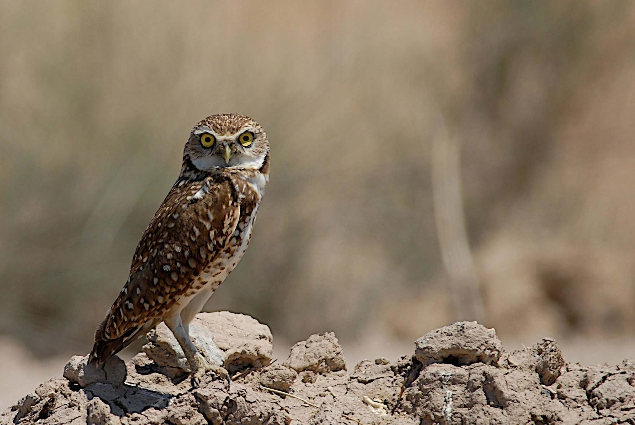 AP-Douglas Barnum / The Canadian Press</p><p>A burrowing owl in the Salton Sea, Calif. A next step in preserving one of Canada's most ecologically diverse regions has been reached between two British Columbia First Nations and the federal and provincial governments.</p>