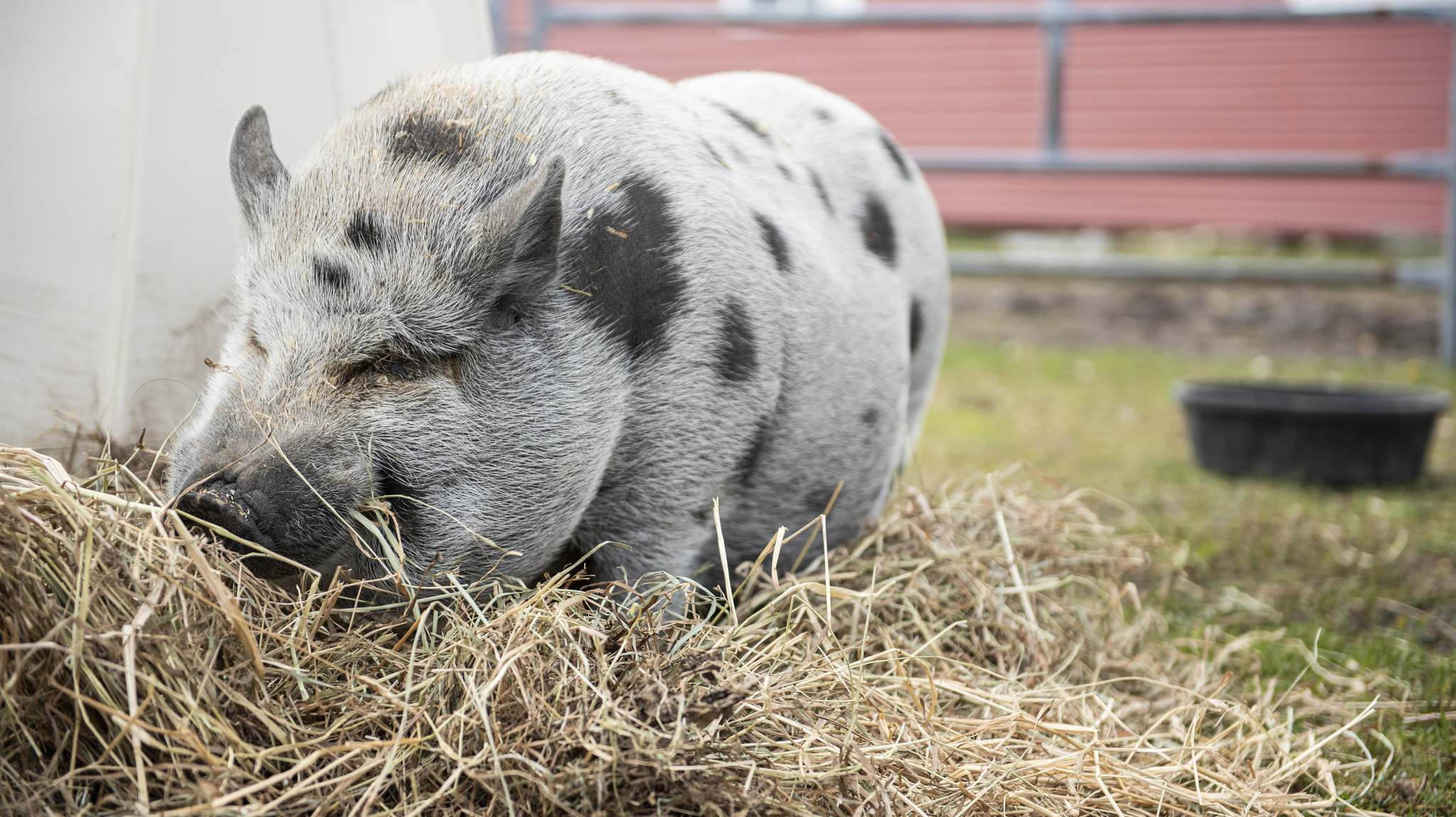 SUPPLIED PHOTO</p><p>Wilbert the pig lives a calm existence, and in the book Cindy and Christabelle's Big Scare, his namesake character provides relaxing advice to frightened goats.</p>