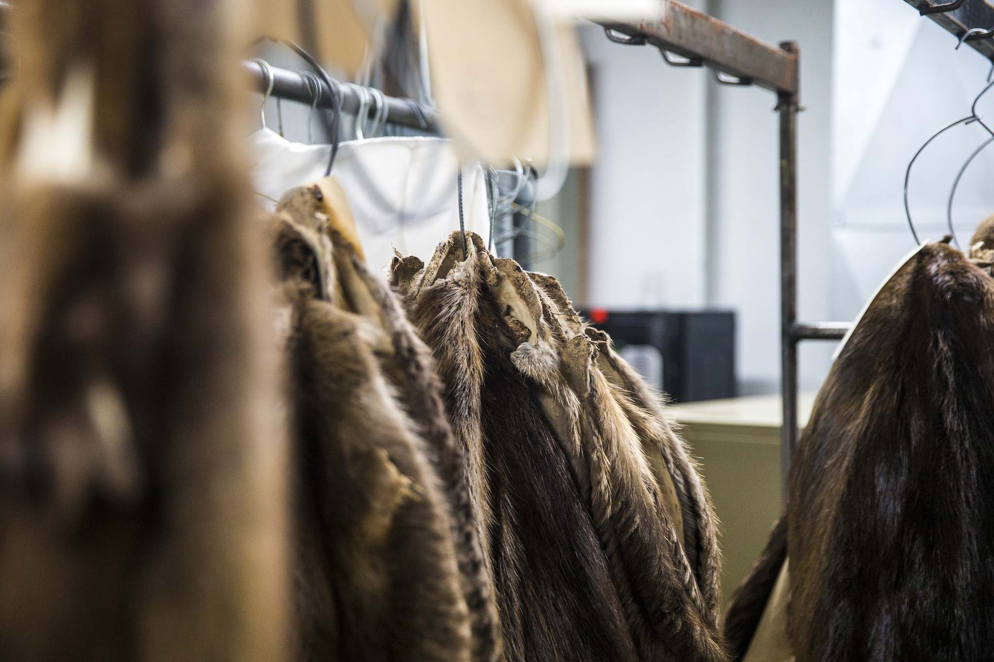 Cured beaver furs at the Fur Harvesters Auction. (Mikaela MacKenzie / Winnipeg Free Press)