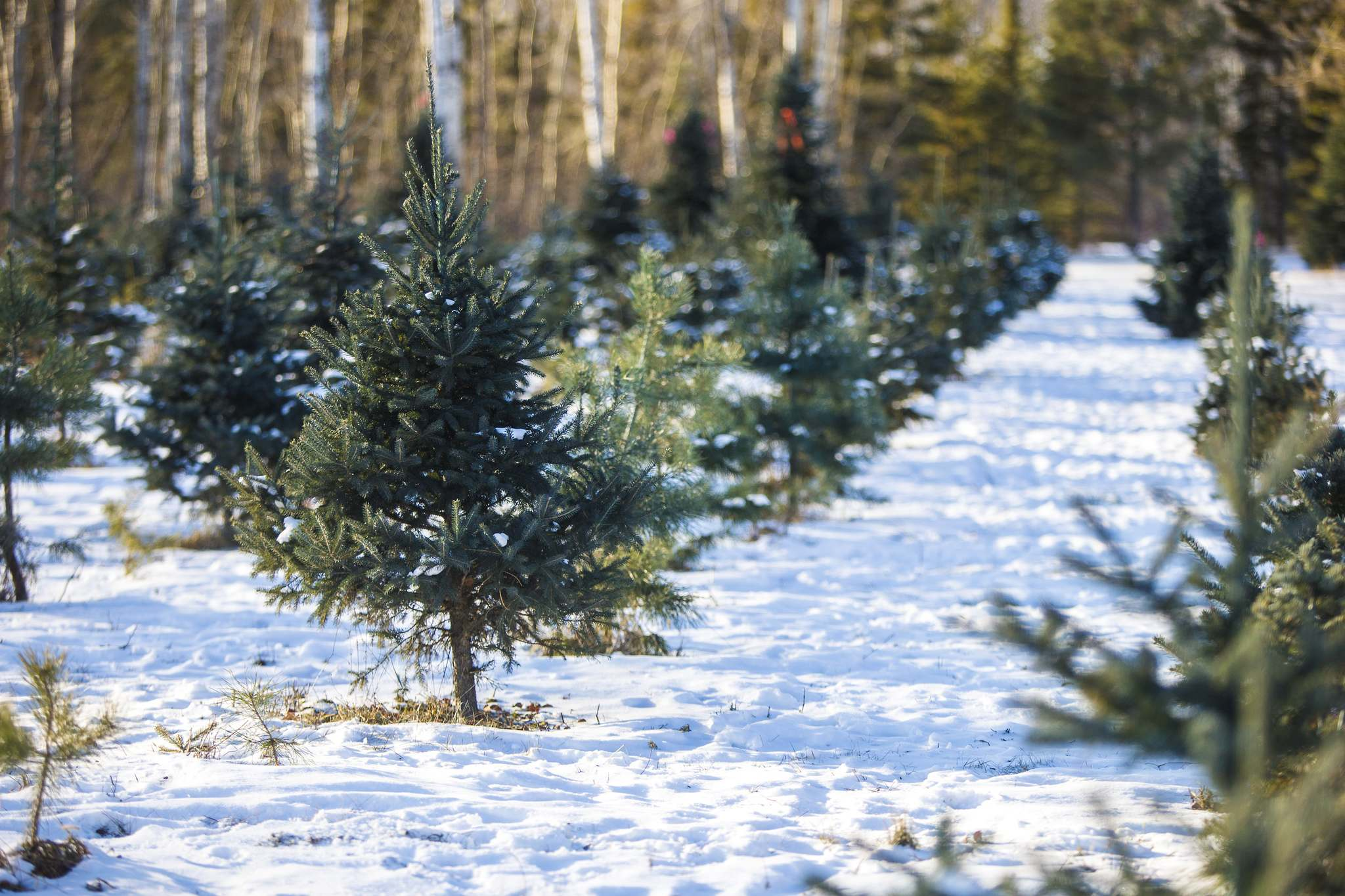 Fact or Fiction: Undecorated Christmas trees selling for $6,500?
