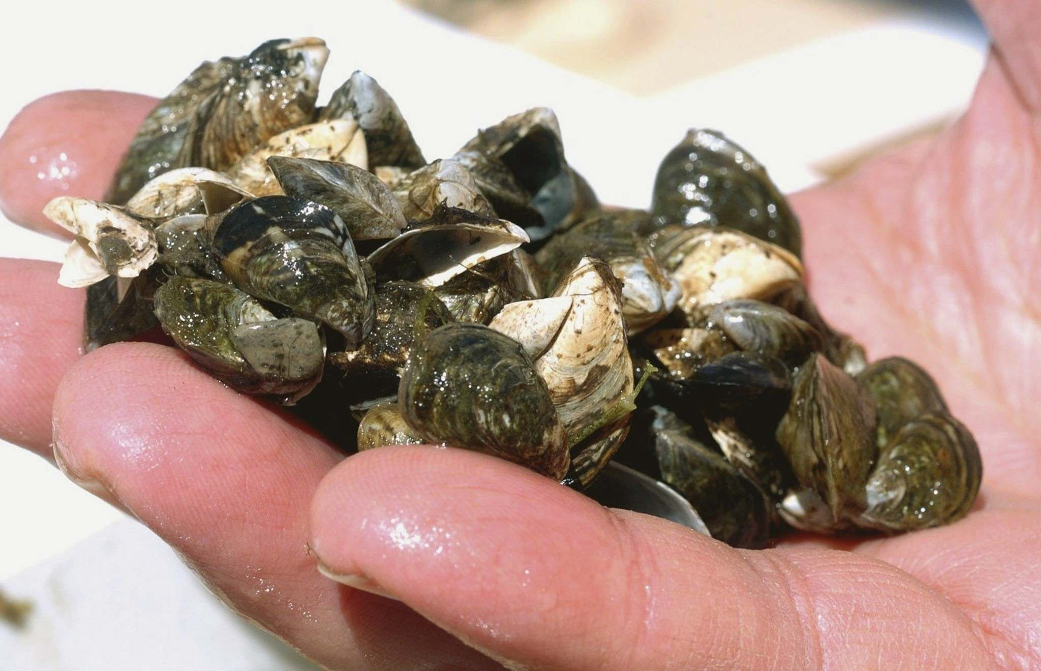 THE CANADIAN PRESS/AP - John L. Russell</p><p>A cluster of zebra mussels. Manitoba's provincial government has asked for increased federal assistance to control the invasive species of mollusk at the Manitoba-U.S. border.</p>