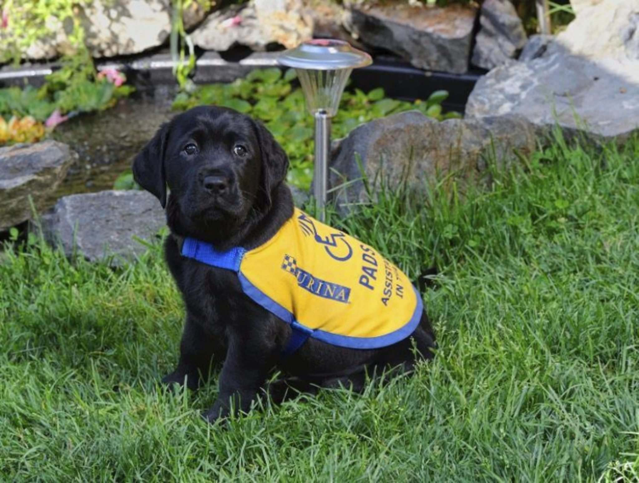 At eight weeks old, Milan went to live with raisers, who help socialize the dogs for their future work. (Supplied photo)