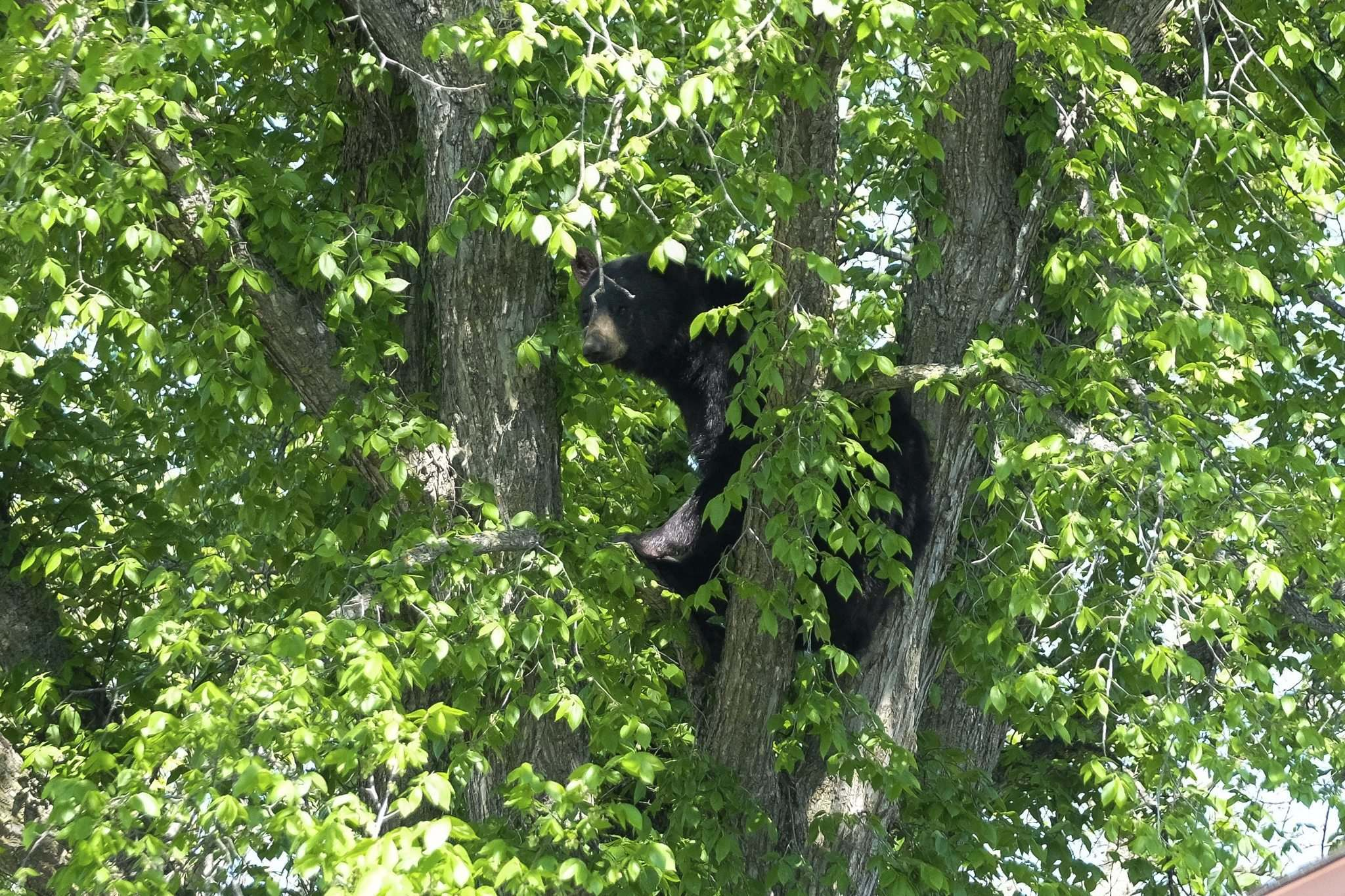 A black bear spends a better part of Saturday up in a tree on Pepperloaf Crescent as members of the Winnipeg Police Service re-directed traffic and Manitoba Conservation officers evaluated the situation. (Daniel Crump / Winnipeg Free Press)</p>