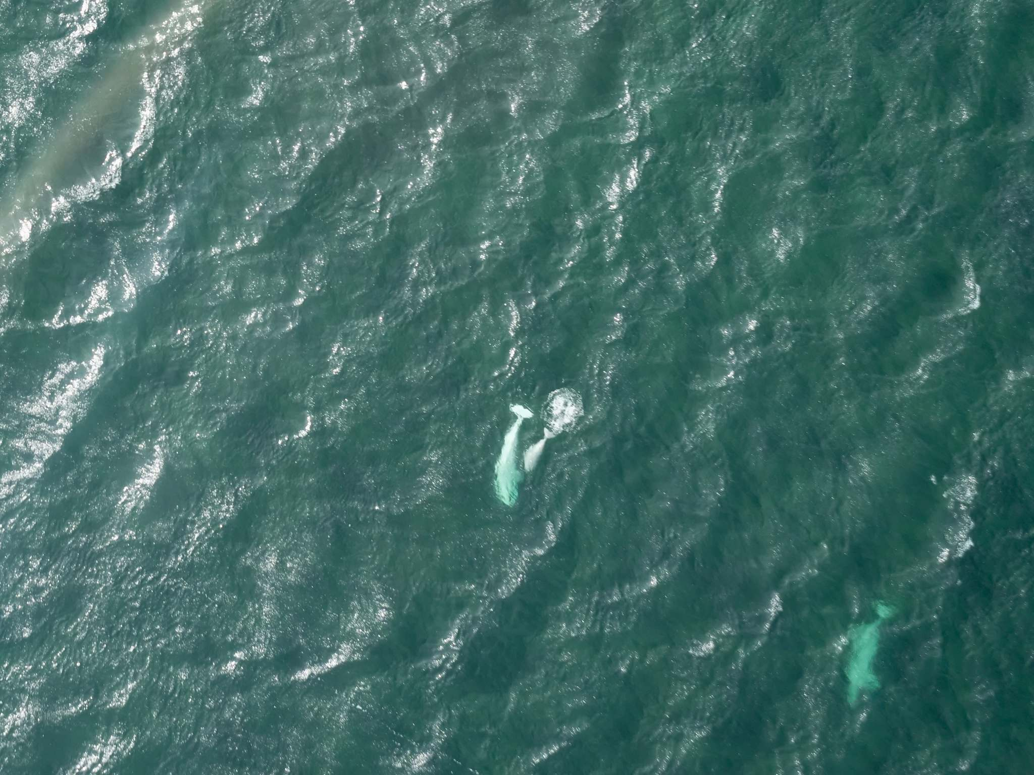 <p>Beluga whales in Button Bay, just west of where the Churchill River flows into Hudson Bay. With longer open-water seasons for the belugas, there is a longer season for other species to wander into the bay which, on some occasions, brings predators to the belugas' doorstep.
