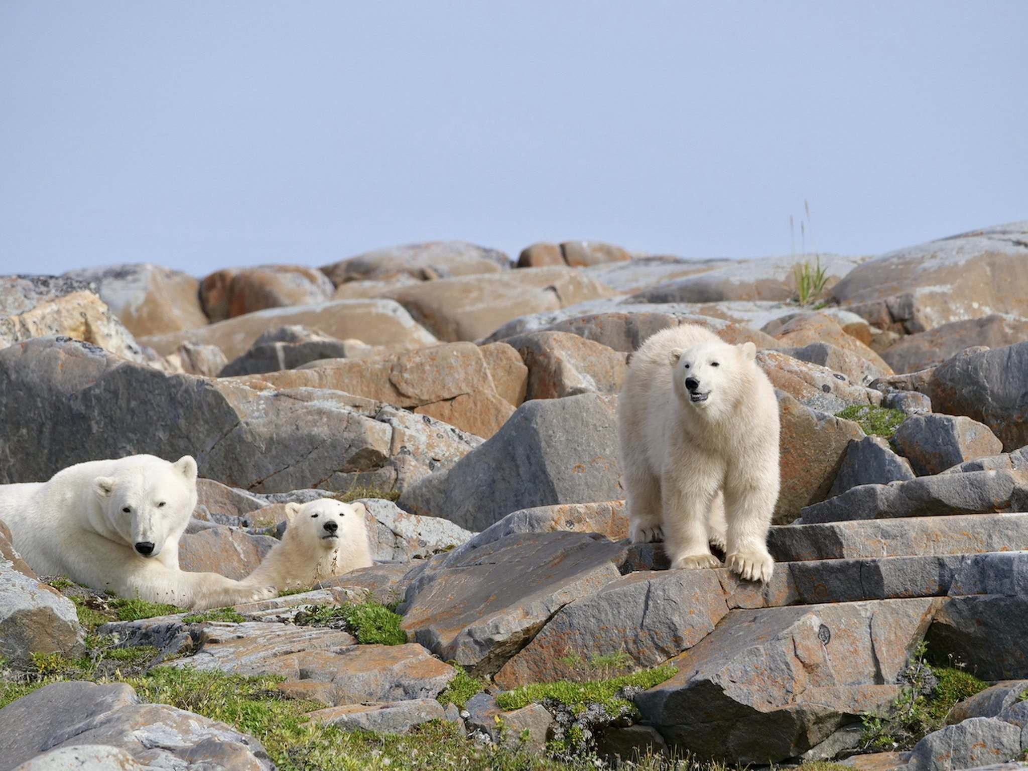 A mother and her two cubs relax amongst the rocks near the shores of Hudson Bay in late August.</p>