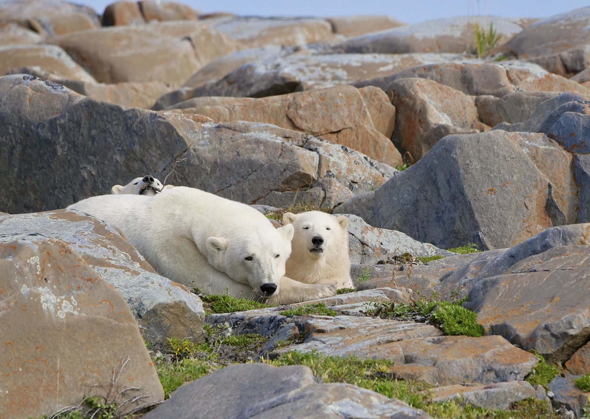 """""""We know that (sea ice) breakup was later this year than last, so we would have expected bears to be in better condition this year, which hopefully translates into (more and bigger) cubs in the spring. Unfortunately, we won't know how much better condition they may have been in,"""" Lunn said."""