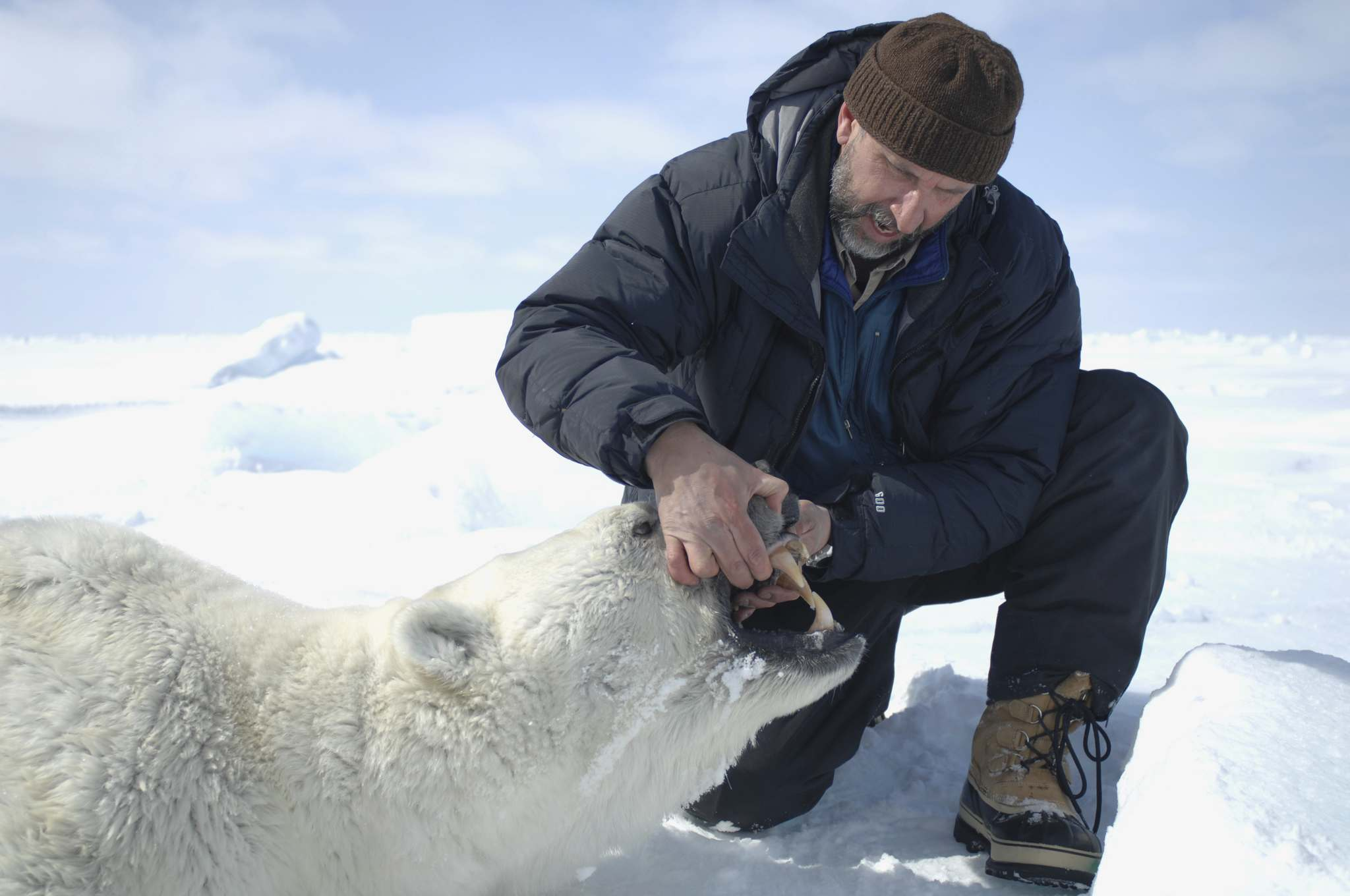 SUPPLIED</p><p>Derocher was able to monitor when the bears left the sea ice over the summer using radio collars.