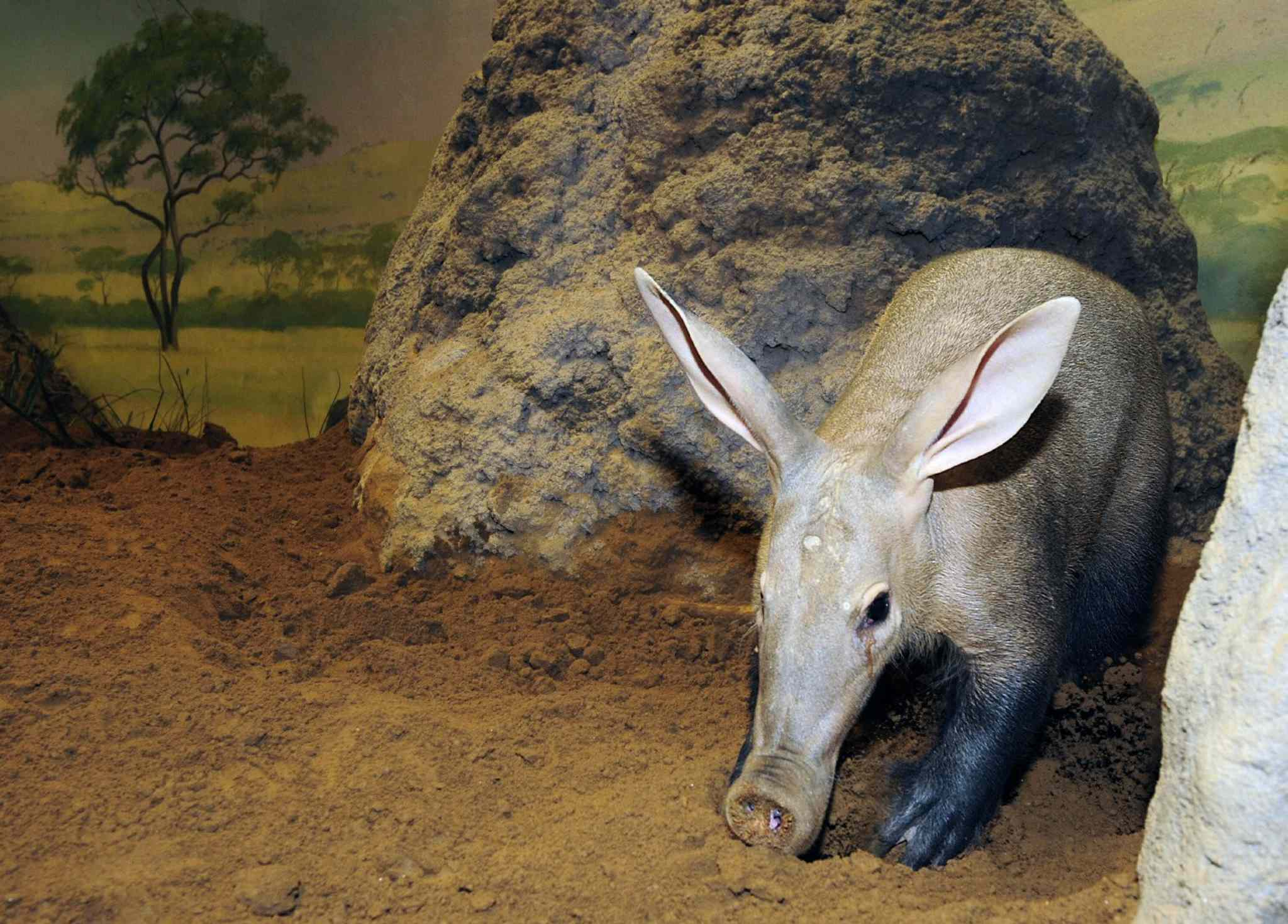 22. Insectivorous mammals, including, but not limited to, aardvark (pictured), tenrec, shrew species, mole species and hedgehog species, except the African pygmy hedgehog.