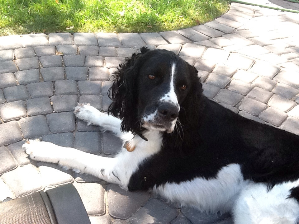 Newton is a four-year-old English springer spaniel. Owner Ted Norrington says Newton weighs about 65 lbs. Ted wants to help his dog lose about seven pounds. Pet Valu Fit Pet project
