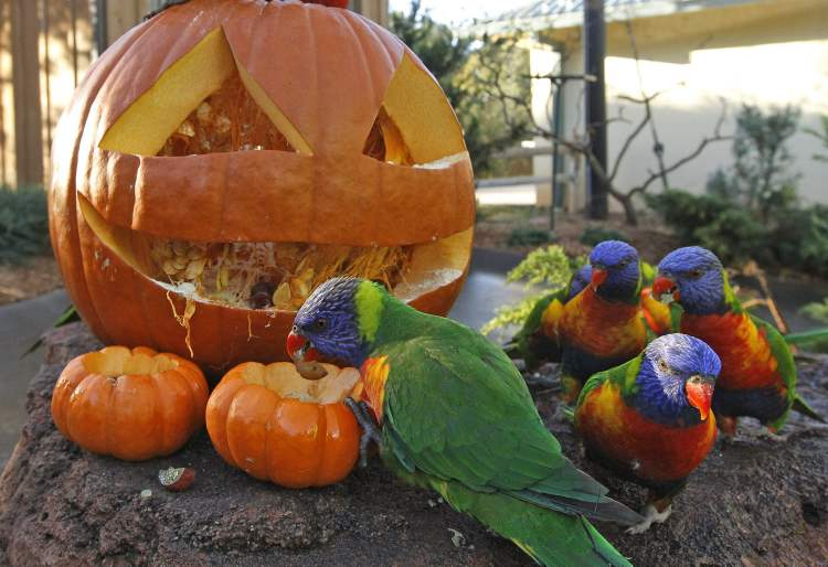 A Lorikeets parrot pulls treats from a carved pumpkin during an animal enrichment program at the Oklahoma City Zoo in Oklahoma City.  (Sue Ogrocki / The Associated Press)