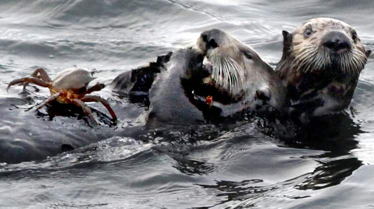 Sea otters enjoy a morning repast off the coast of Santa Cruz, Calif., including a sampling of the local shellfish.