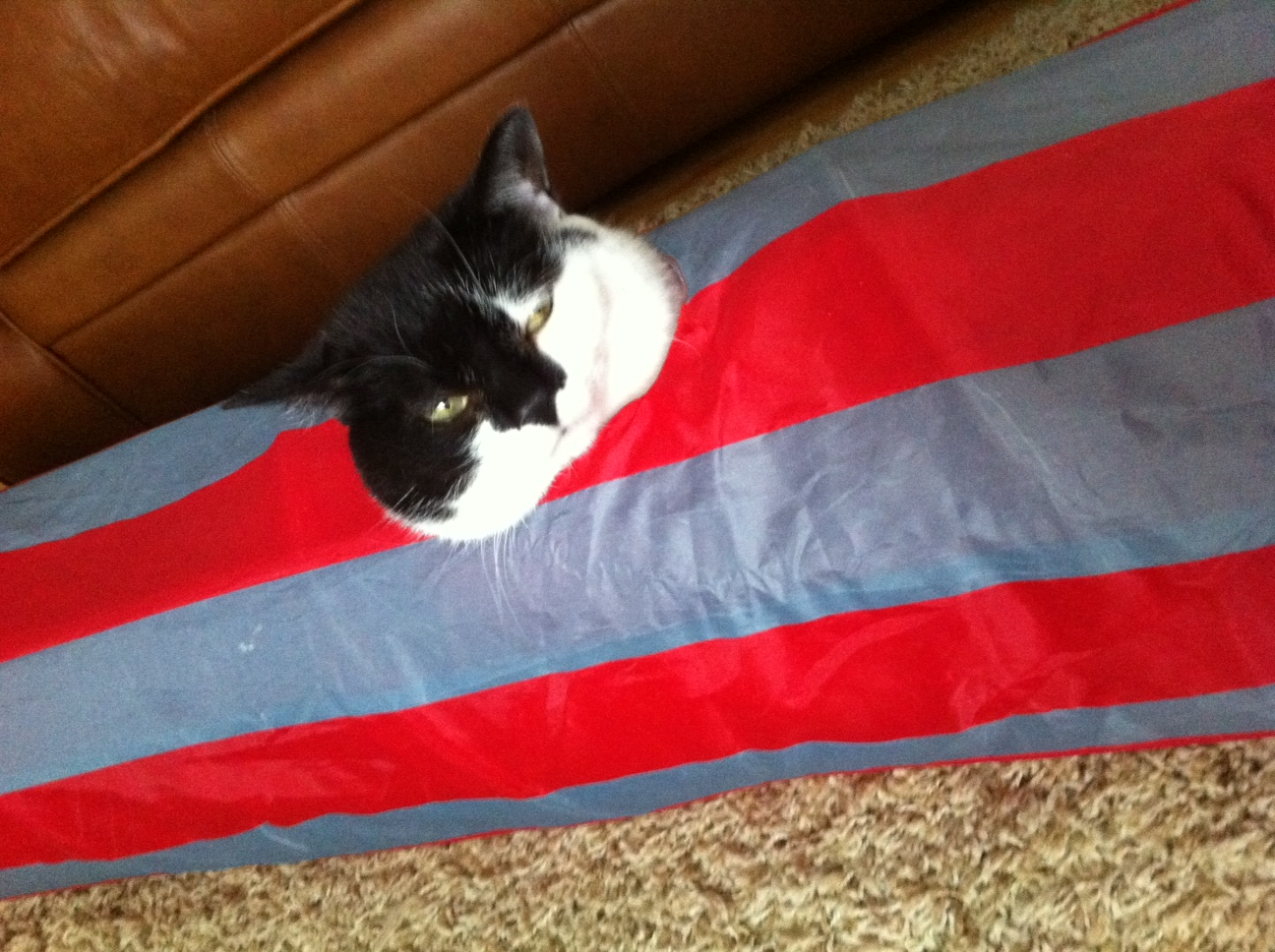 Here Ocho demonstrates his submarining technique on his cat tunnel. Pet Valu Fit Pet project (Submitted photo)