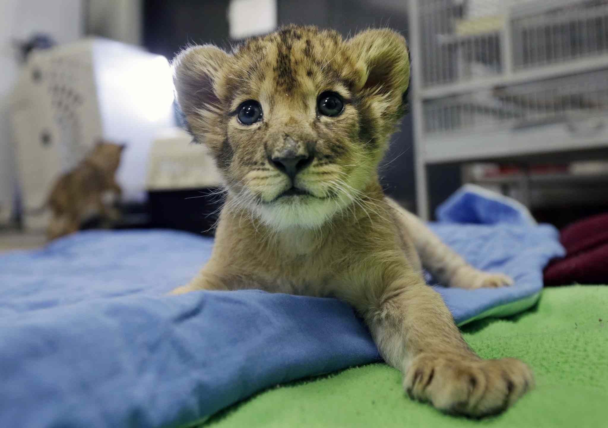 One-month old African lion cub, Kiume plays at the veterinarian office Three baby lion cubs at Six Flags Great Adventure and Safari Thursday, March 6, 2014, in Jackson, N.J. Three baby African lion cubs, Kiume, and two month old brothers, Kanu and Kondo, live at the park in central New Jersey. The park says its animal care team has become surrogate mother to the cubs due to medical distress and lack of care by their mothers.