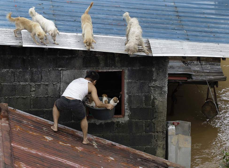 A man carries puppies back inside their house as other dogs stay on the roof at a flooded area in Marikina City, east of Manila, Philippines, Wednesday Aug. 8, 2012. Widespread flooding that killed at least 11 people, battered a million others and paralyzed the Philippine capital began to ease Wednesday as cleanup and rescue efforts focused on a large number of distressed residents, some still marooned on their roofs.  AP Photo / Aaron Favila
