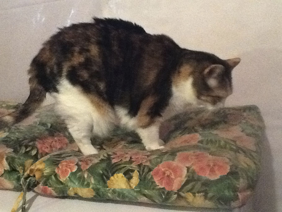 Pochahantas is a six-year-old, female, red patch, tabby, calico. Owner Alyssa Slike says her nicknames include Polky and Polk-a-dot. Pochahantas currently weighs about 15.5 lbs. and so far has lost one pound in her effort to hit her target weight of 13 lbs. Mother Nature can be cruel. Pochahantas has a biological twin who is, of course, skinny. Pochahantas loves to play but if one of her siblings joins in, she loses interest and playfulness. Her eyes light up when she hears the patter of food in her bowl, and she runs to dig in. Alyssa says they will love their kitty, Pochahantas, big or small, but they are so happy she is on her way to a healthier lifestyle. Pet Valu Fit Pet Project  (Submitted photo)