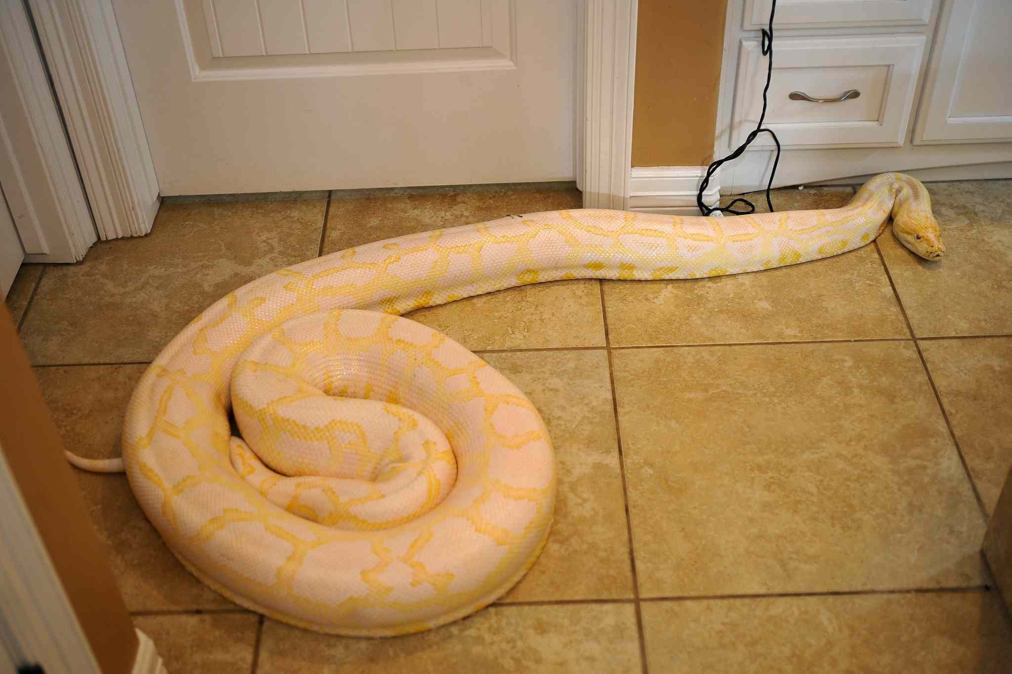 (e) any member of the family Pythonidae, including, but not limited to, the African rock python, the Indian or Burmese python (pictured), the Amethystine or scrub python, except members of the family Pythonidae reaching an adult length of no greater than two (2) meters.