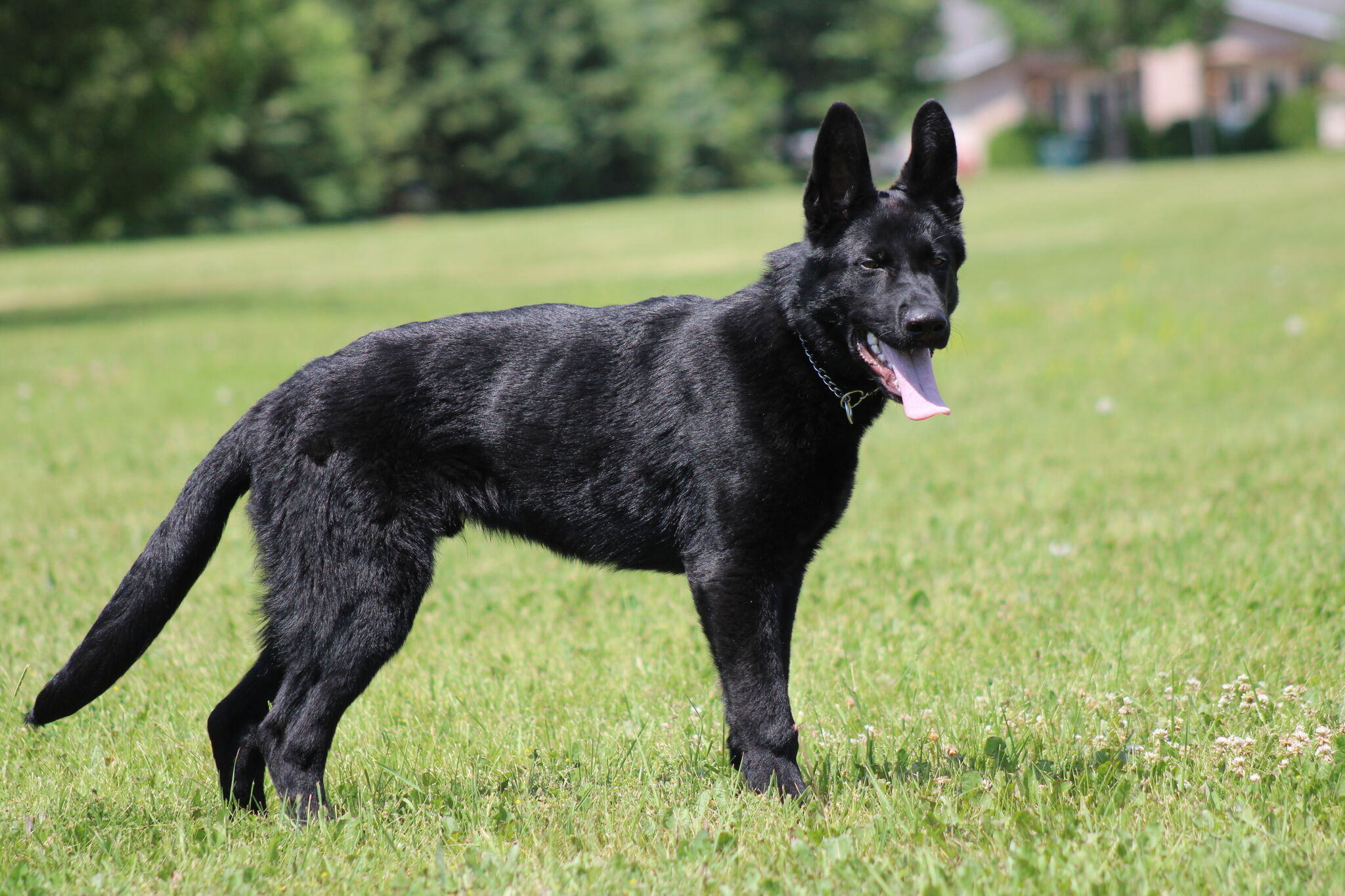 Pixel is the first all-black German Shepherd that Const. Justin Neufeld has worked with.