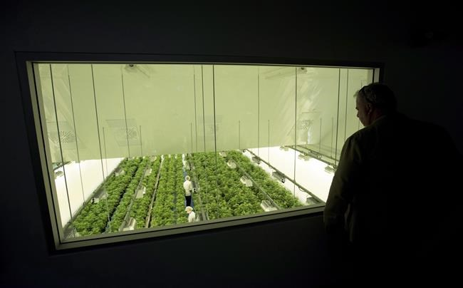 Staff work in a marijuana grow room at Canopy Growth's Tweed facility in Smiths Falls, Ont., on Thursday, Aug. 23, 2018. Canopy Growth Corp. is laying off another round of workers as the company continues a restructuring. THE CANADIAN PRESS/Sean Kilpatrick