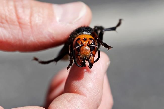 An entomologist displays a dead Asian giant hornet, a sample brought in from Japan for research, Thursday, May 7, 2020, in Blaine, Wash. Researchers are looking for unique ways to collect data as COVID-19 puts a dampener on the field research season. THE CANADIAN PRESS/AP, Elaine Thompson